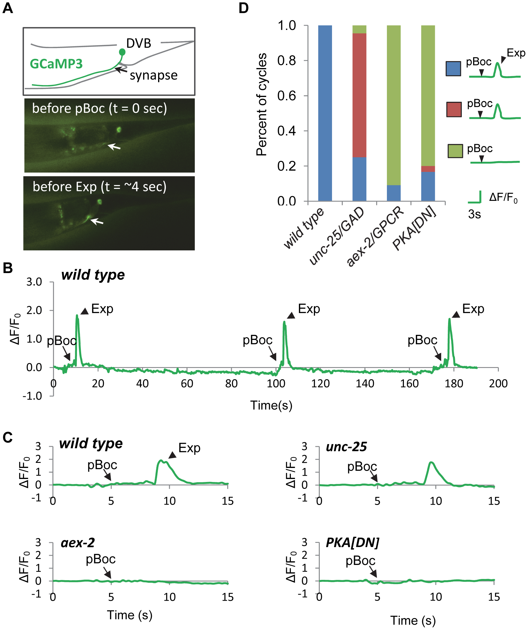PKA is necessary for calcium influx in DVB neurons.