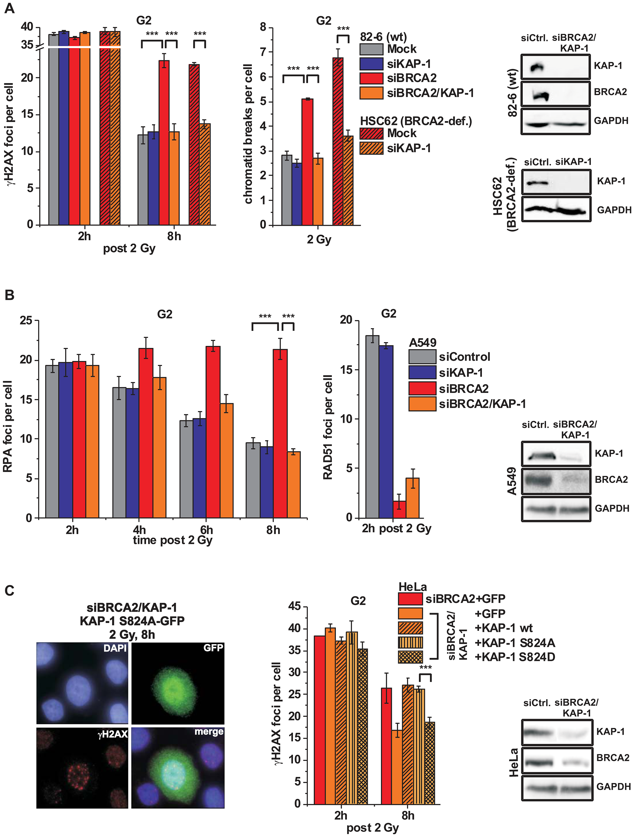 KAP-1 depletion allows HC DSB repair in the absence of BRCA2.