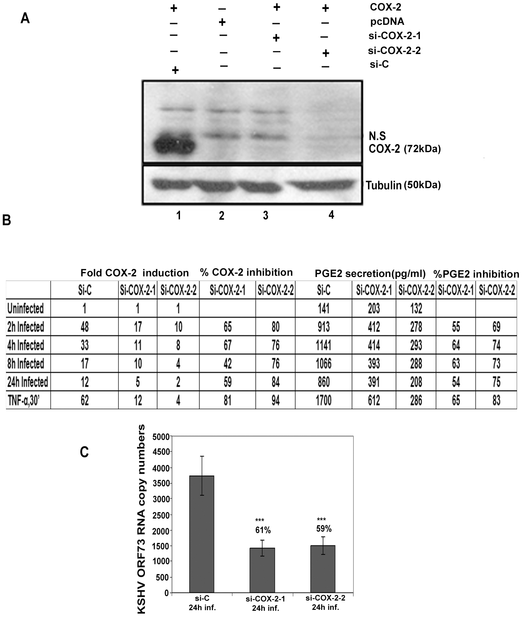 Evaluation of COX-2 siRNA for silencing COX-2.