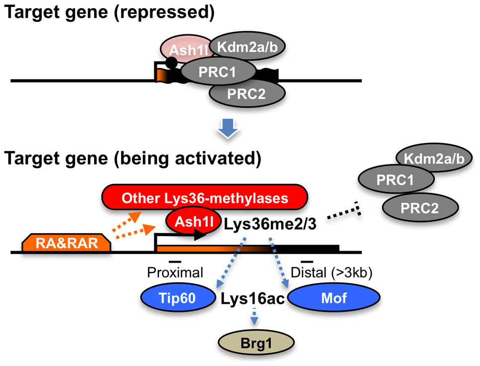 A proposed role of Ash1l with RAR in the establishment of transcriptional activation.
