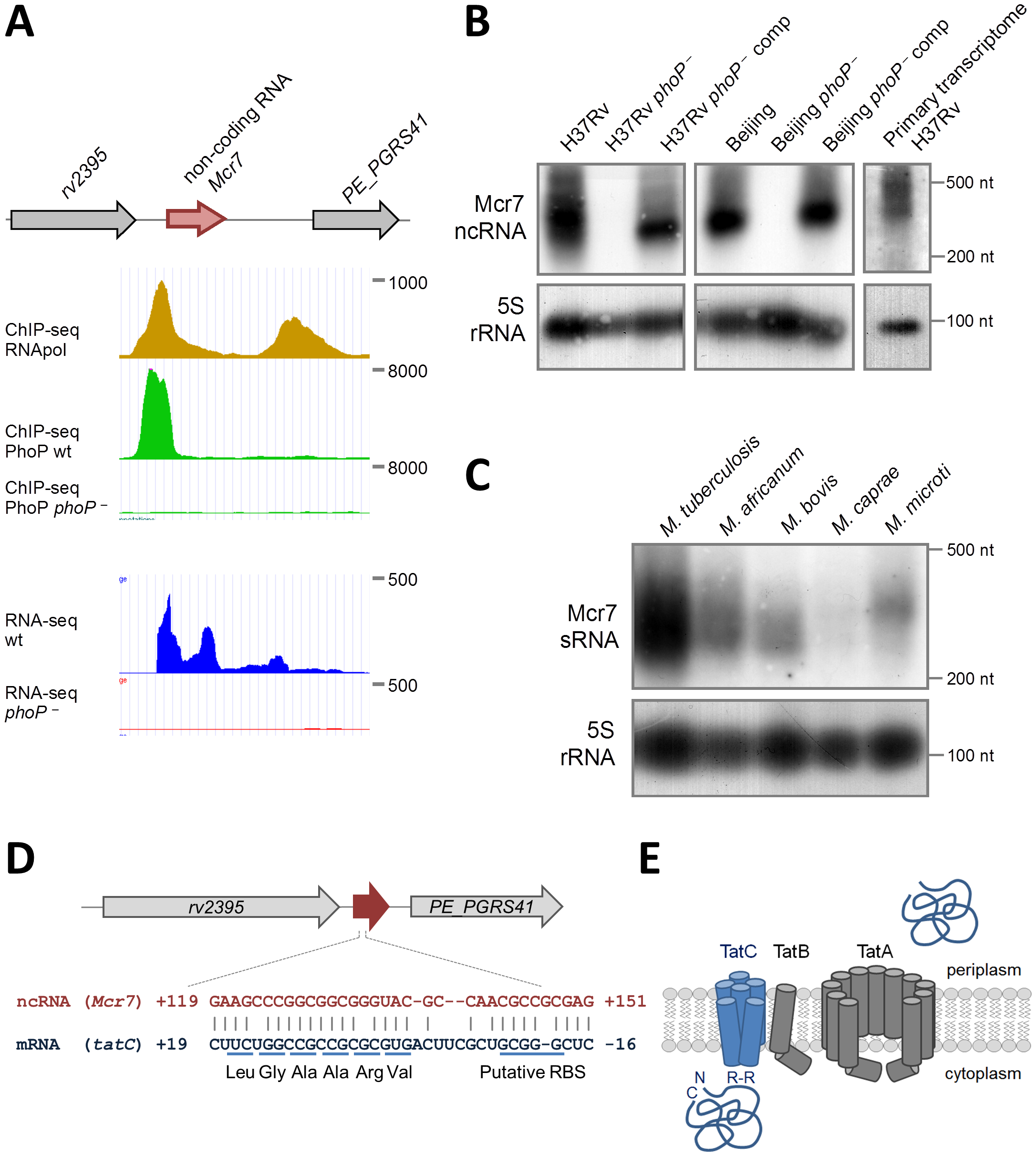 Characterization of <i>mcr7</i> as the major PhoP-regulated target.