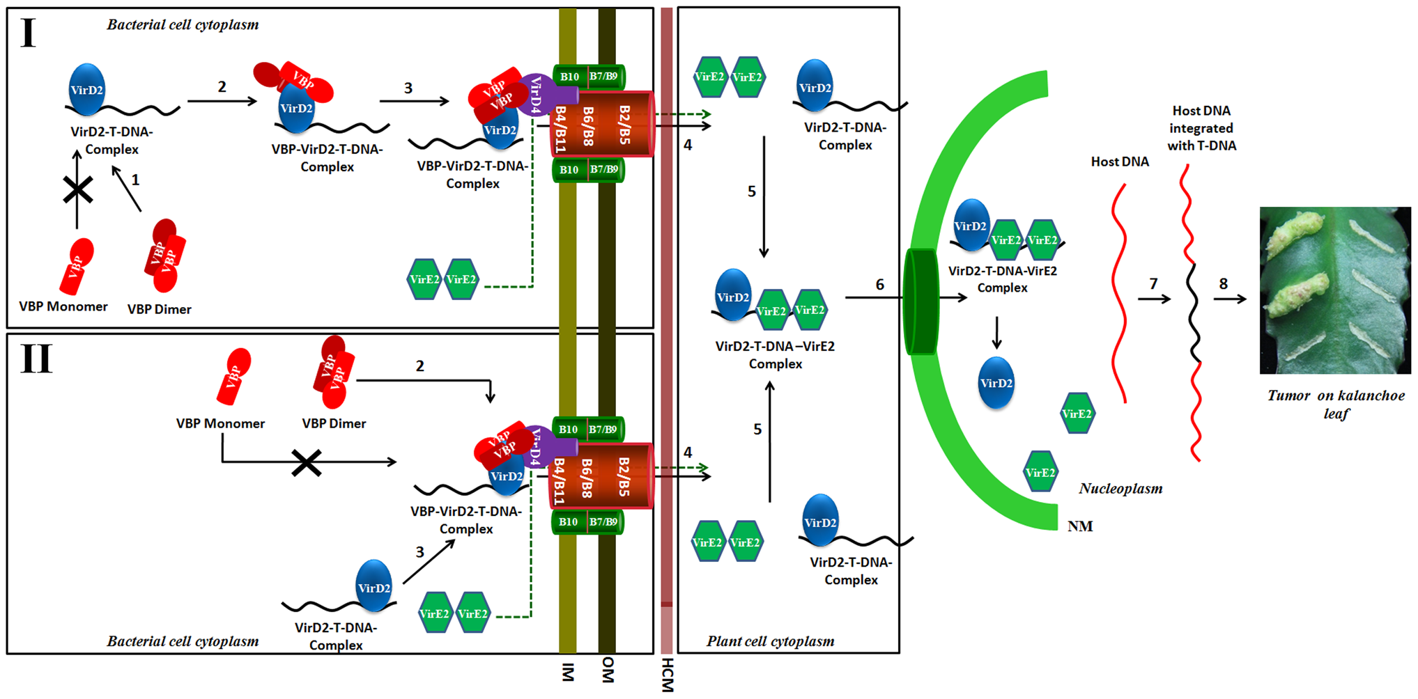 Schematic representation shows the induction of tumors in plants by <i>Agrobacterium tumefaciens</i> and the role of VBP.