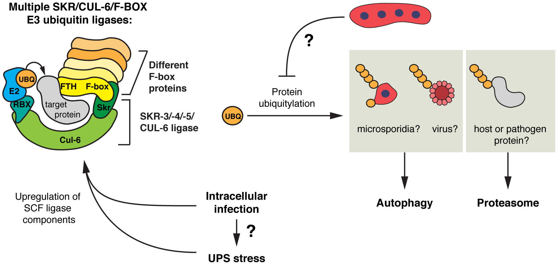 Model for SCF E3 ligases and ubiquitin-mediated responses to intracellular infection in <i>C. elegans</i>.