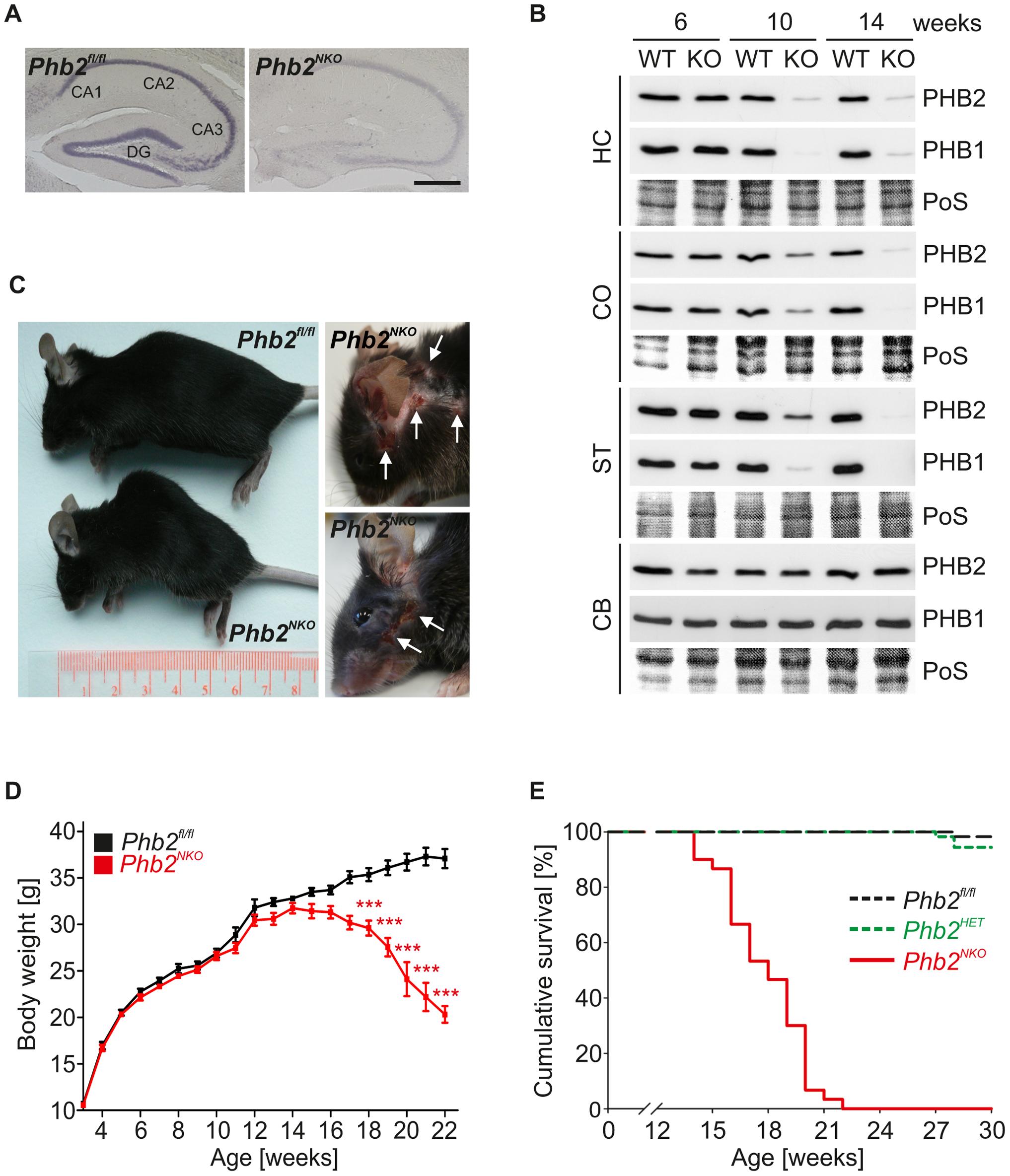 <i>CaMKIIa-Cre</i>-mediated inactivation of the mouse <i>Phb2</i> gene in forebrain neurons.