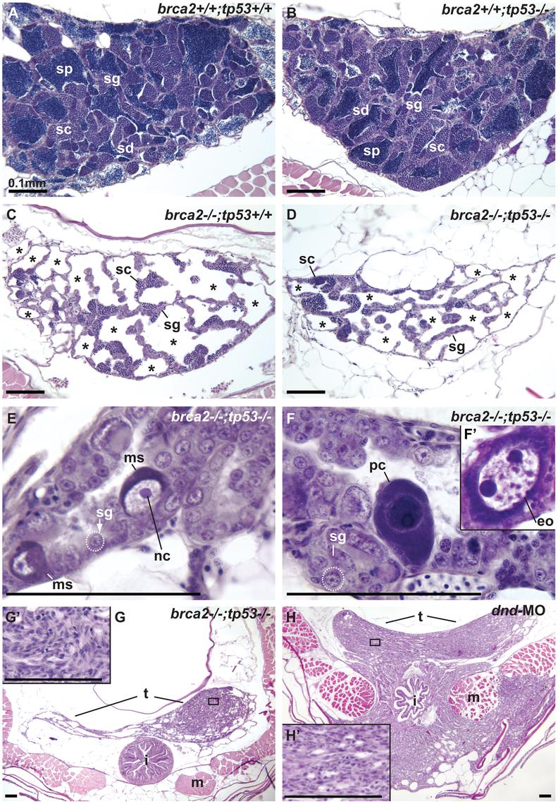 Mutation of <i>tp53</i> failed to rescue infertility in <i>brca2</i> mutants.