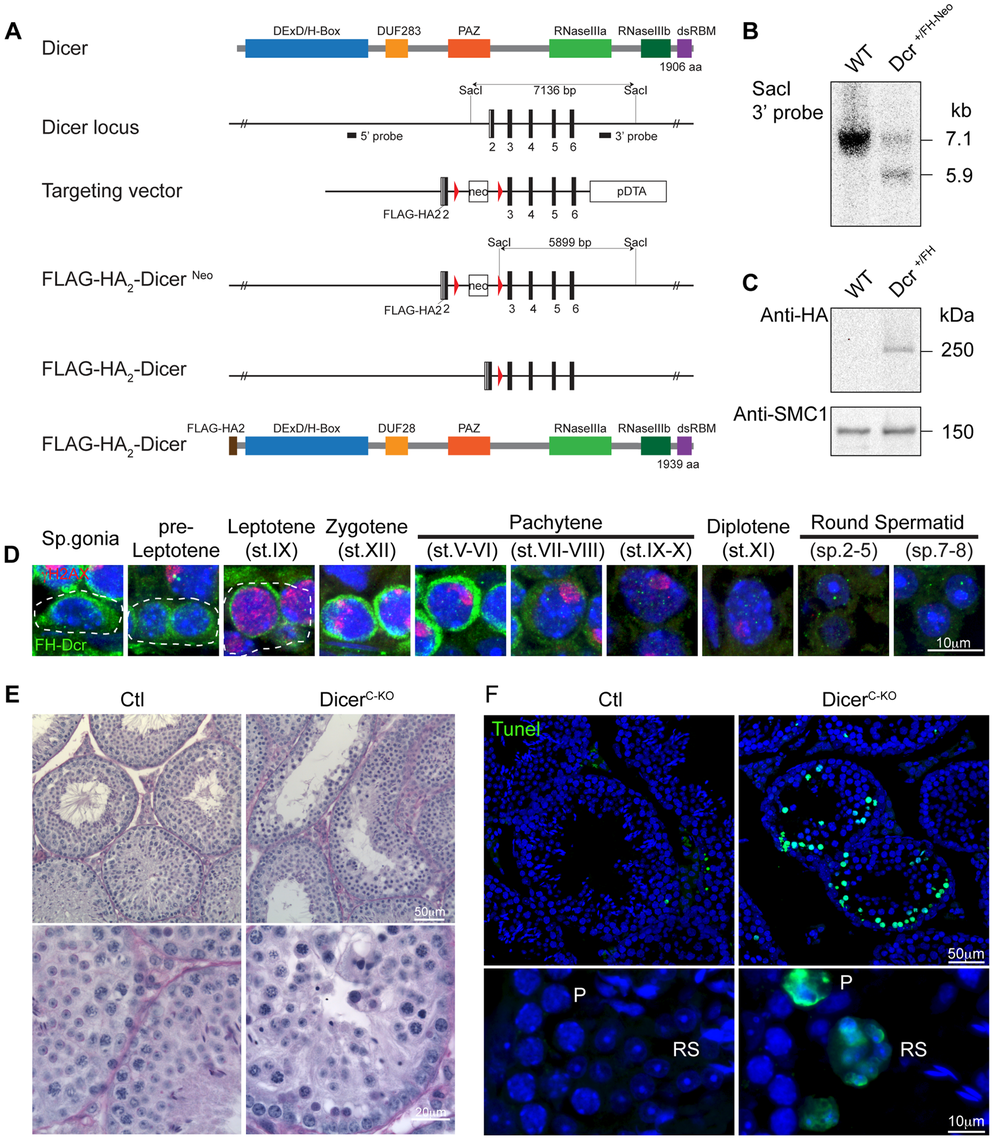 Expression and function of Dicer in adult spermatogenesis.