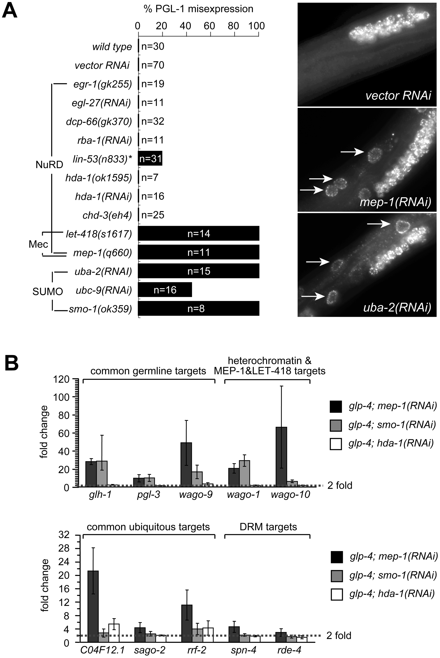 MEP-1 and LET-418 function as the Mec complex to prevent somatic germline gene expression by mediating the repressive effect of sumoylation.