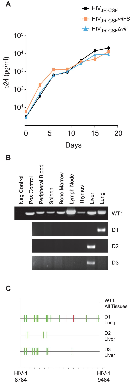 Human APOBEC3 rapidly restricts <i>vif</i>-deleted HIV-1<sub>JR-CSF</sub> <i>in vivo</i>.