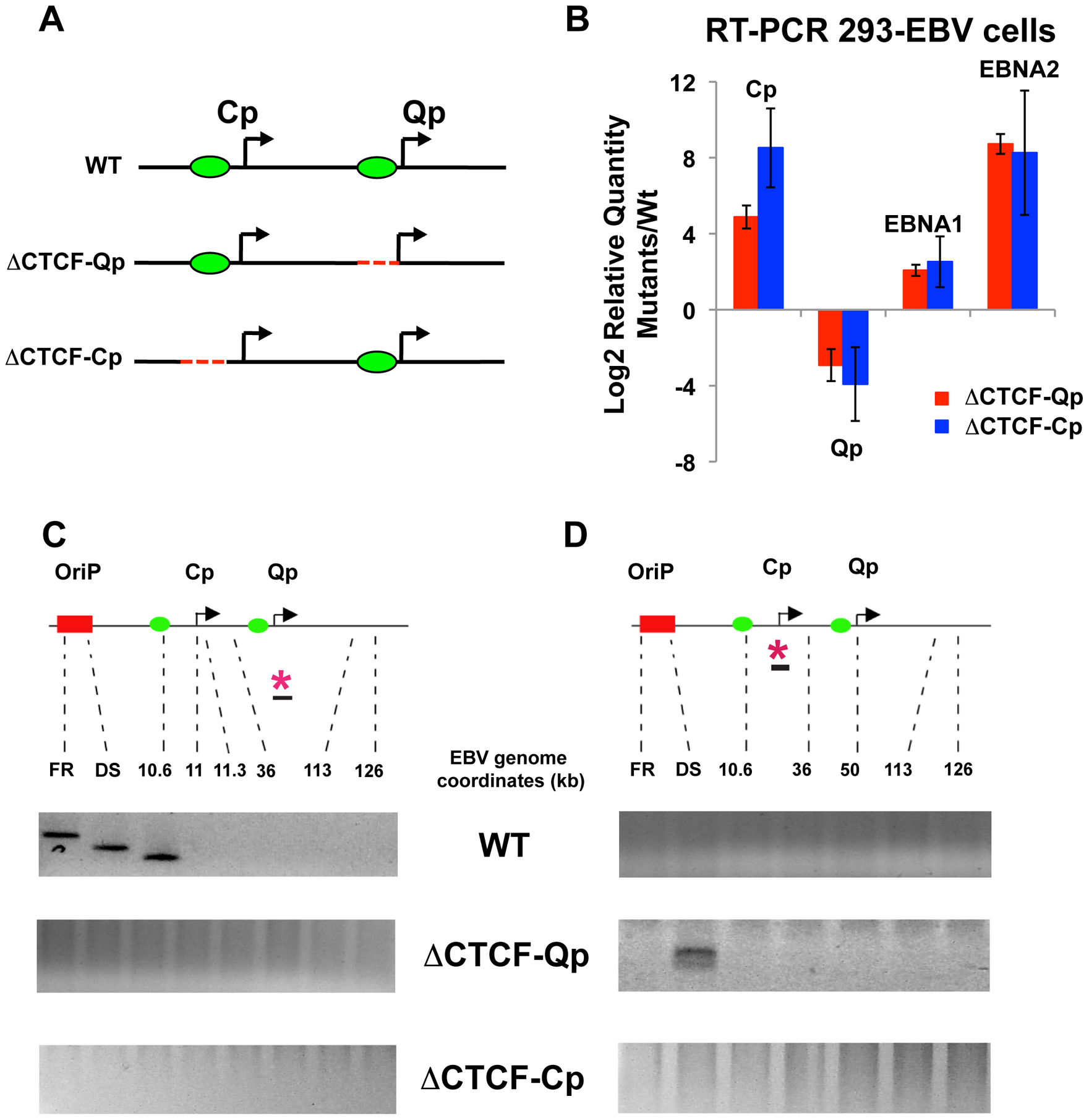 Mutation in the CTCF binding site at Qp and at Cp alters chromatin conformation and promoter activation.