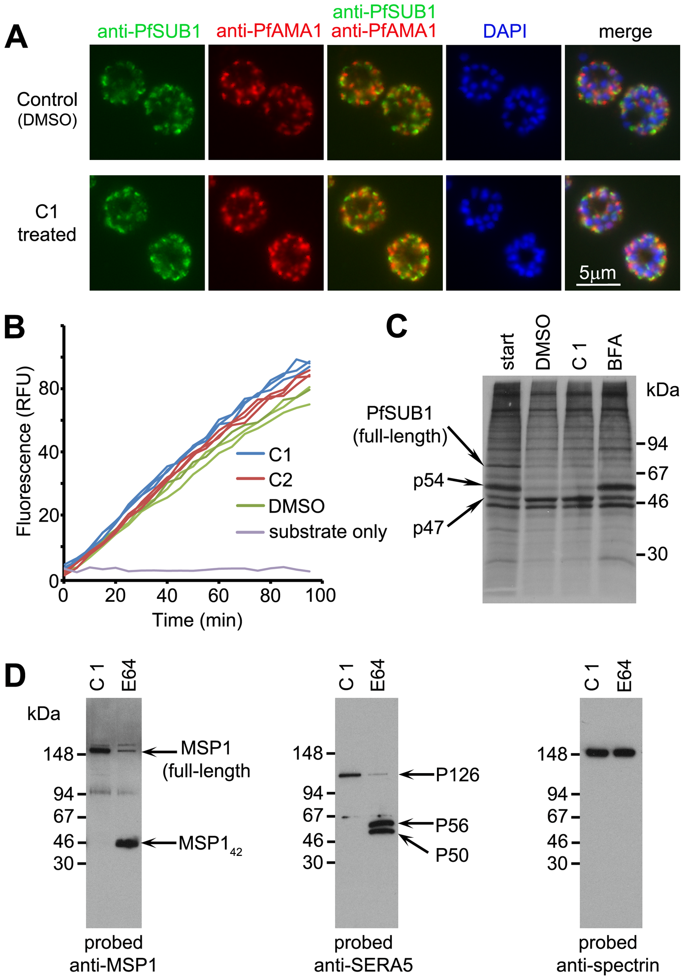 C1 and C2 do not affect expression, trafficking or maturation of PfSUB1.