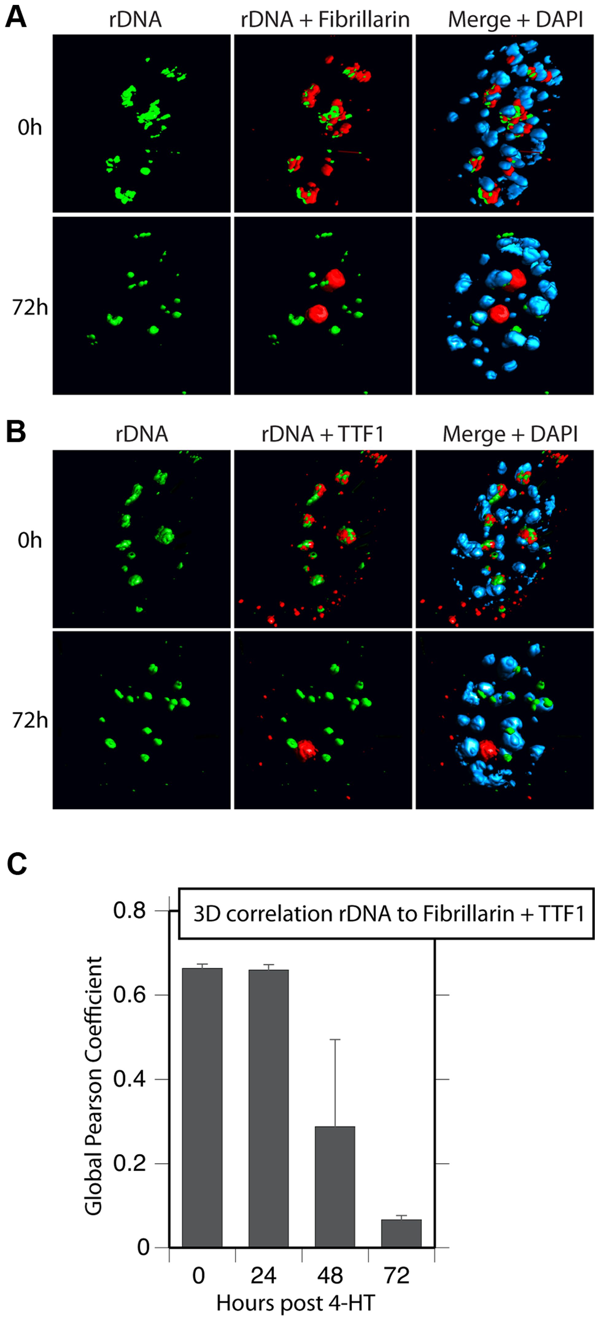 Nucleolar bodies are spatially distinct from the rDNA and NORs.