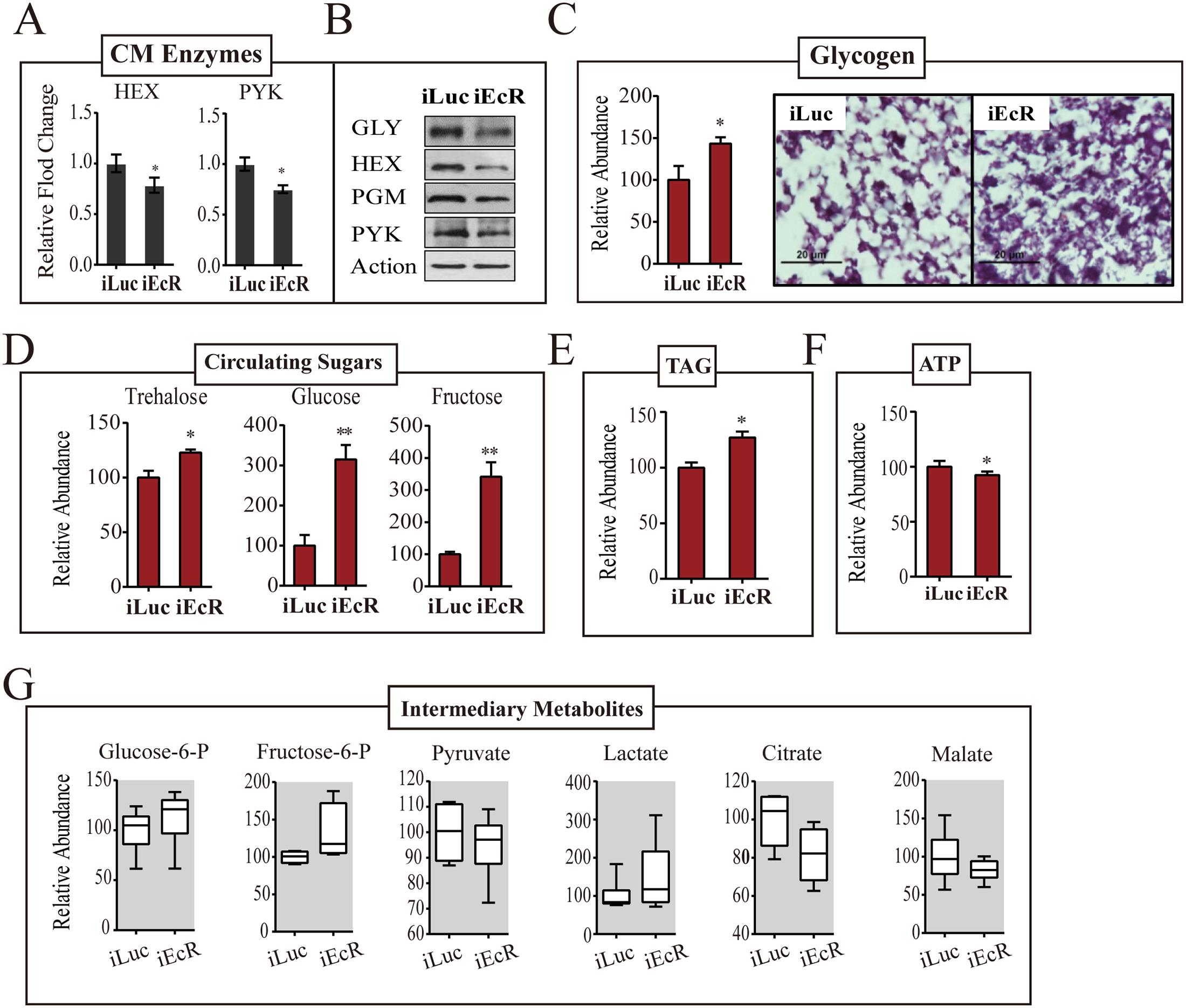 EcR depletion affects CM during PBM development.