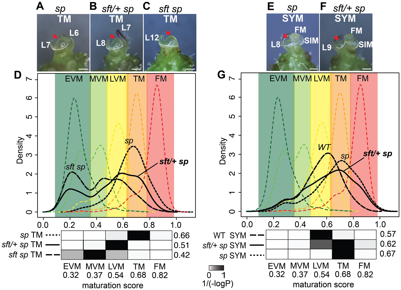 Transcriptome profiling reveals a semi-dominant delay in meristem maturation from <i>sft/</i>+ heterozygosity.