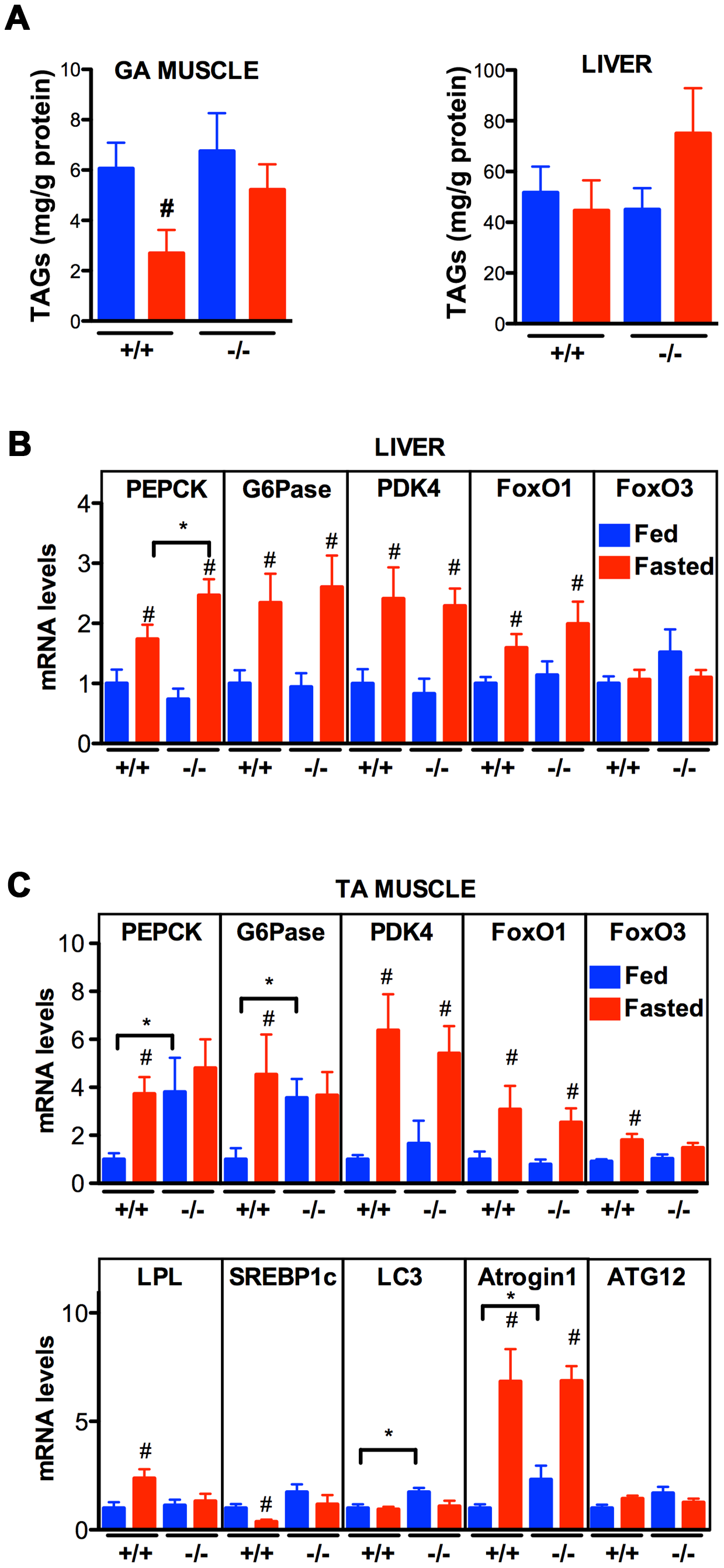 Effect of <i>Vapb</i> ablation on fasting/refeeding energy metabolism in mice.