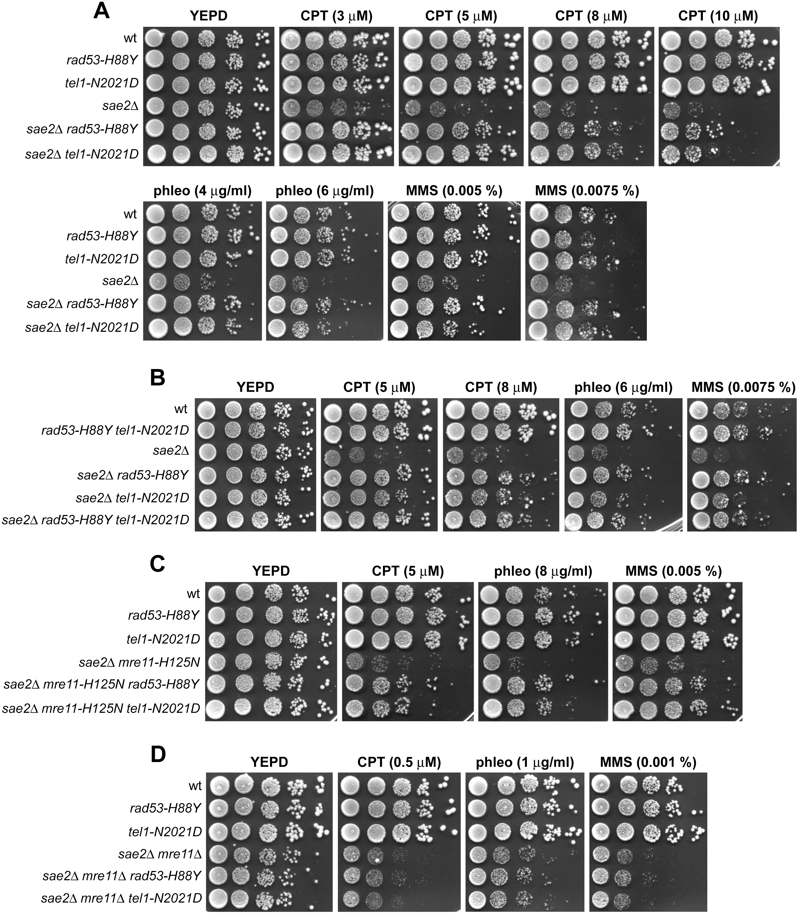 Rad53-H88Y and Tel1-N2021D suppress the hypersensitivity to genotoxic agents of <i>sae2</i>Δ cells.