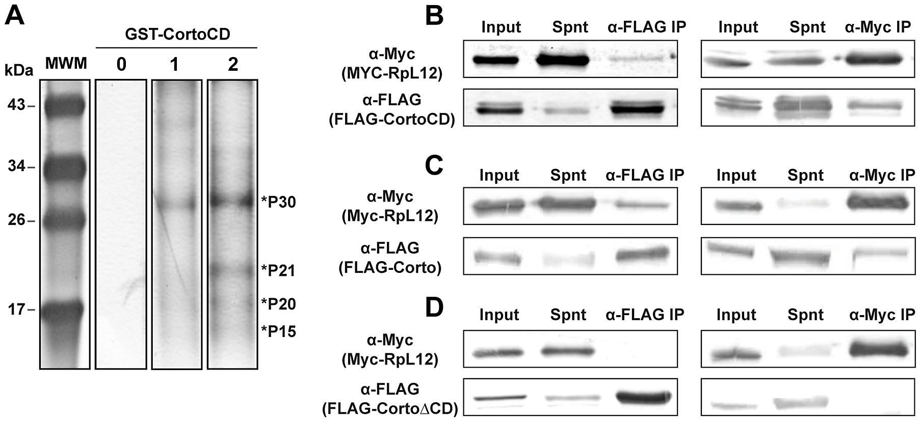 Corto interacts with nuclear ribosomal proteins and co-immunoprecipitates with RPL12 <i>via</i> its chromodomain.