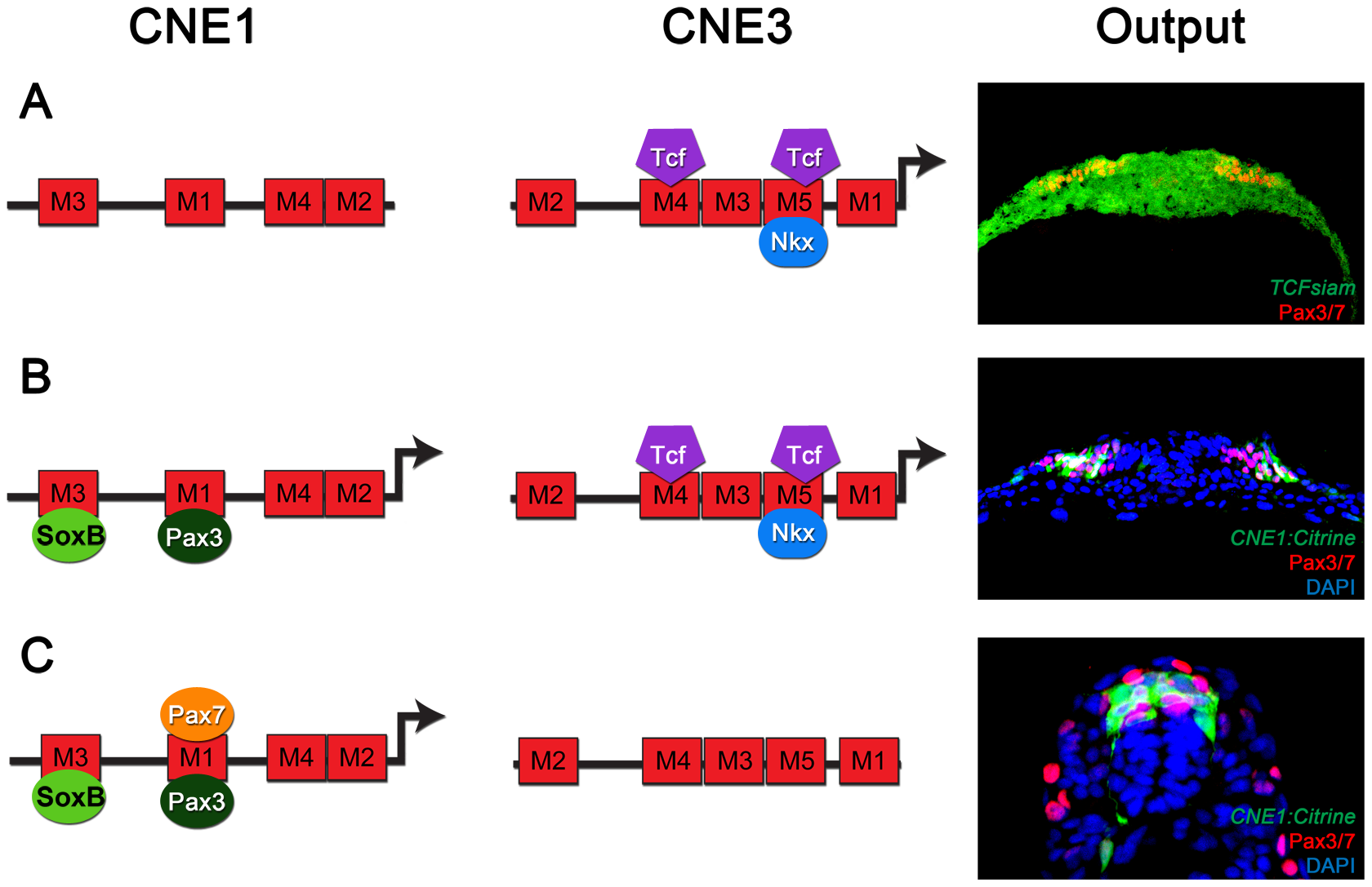 The regulatory logic of Pax3 expression in the neural tube.