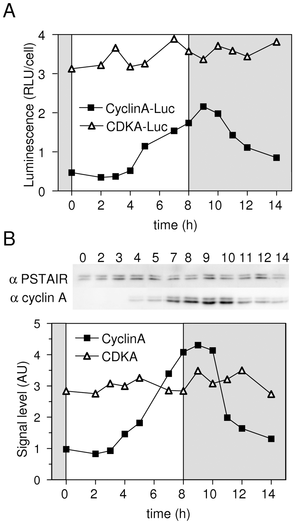 Validation of luciferase translational reporters to estimate CyclinA and CDKA levels in protein extracts.