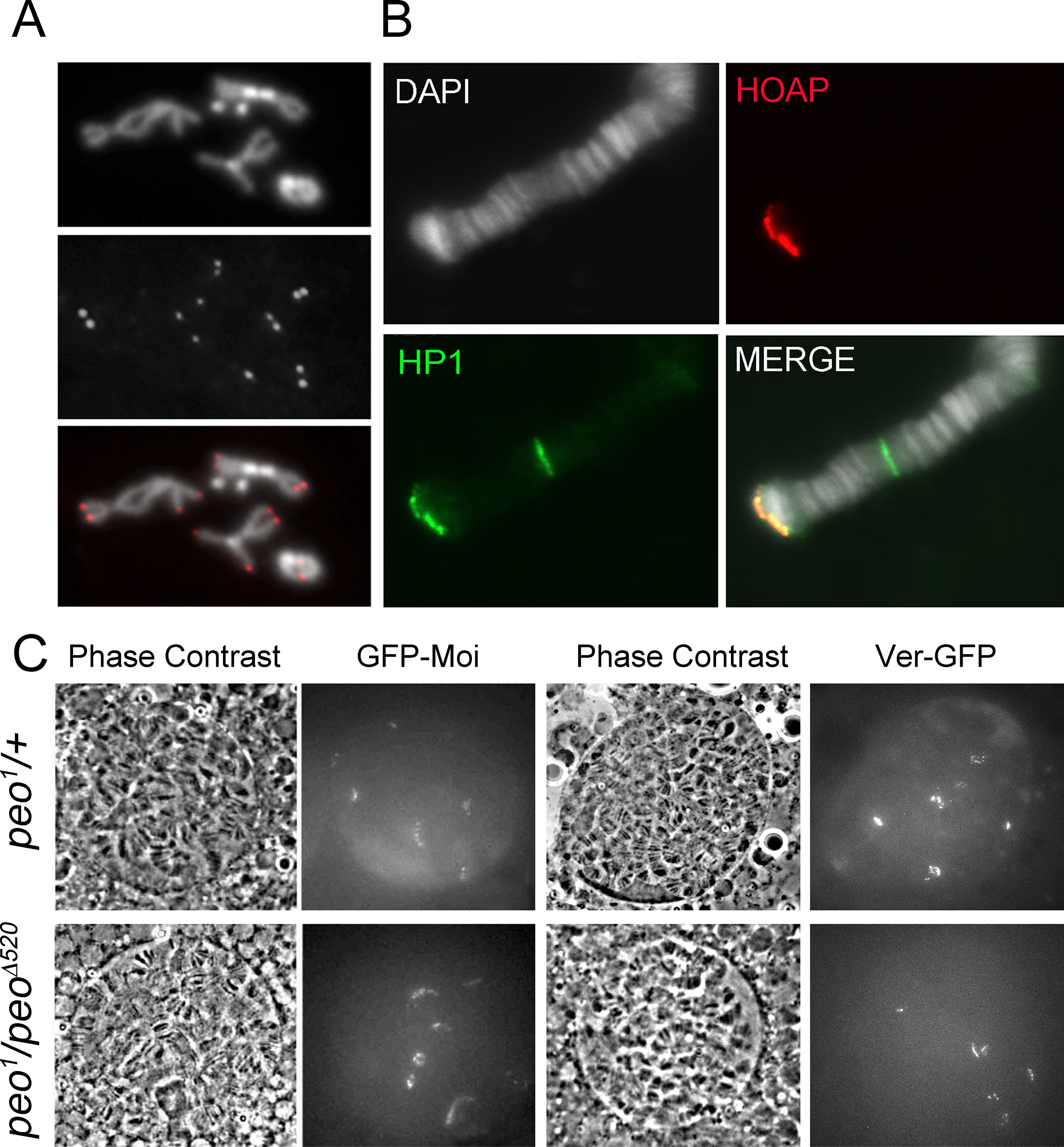 Terminin and HP1a localize normally at the telomeres of <i>peo</i> mutant cells.