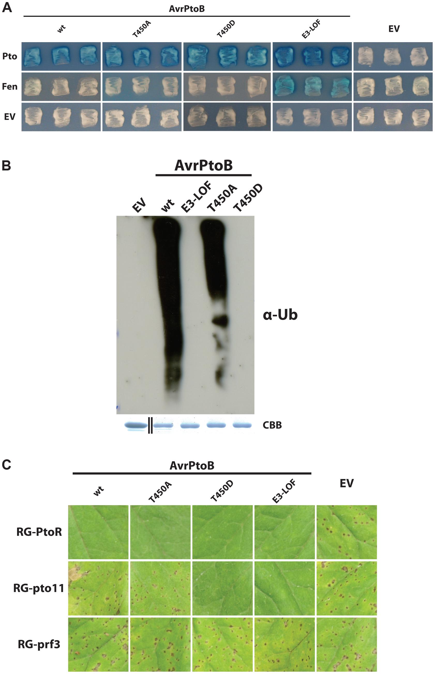 Pto-mediated phosphorylation of T450 in AvrPtoB does not impact Pto recalcitrance to E3 ligase-mediated degradation.