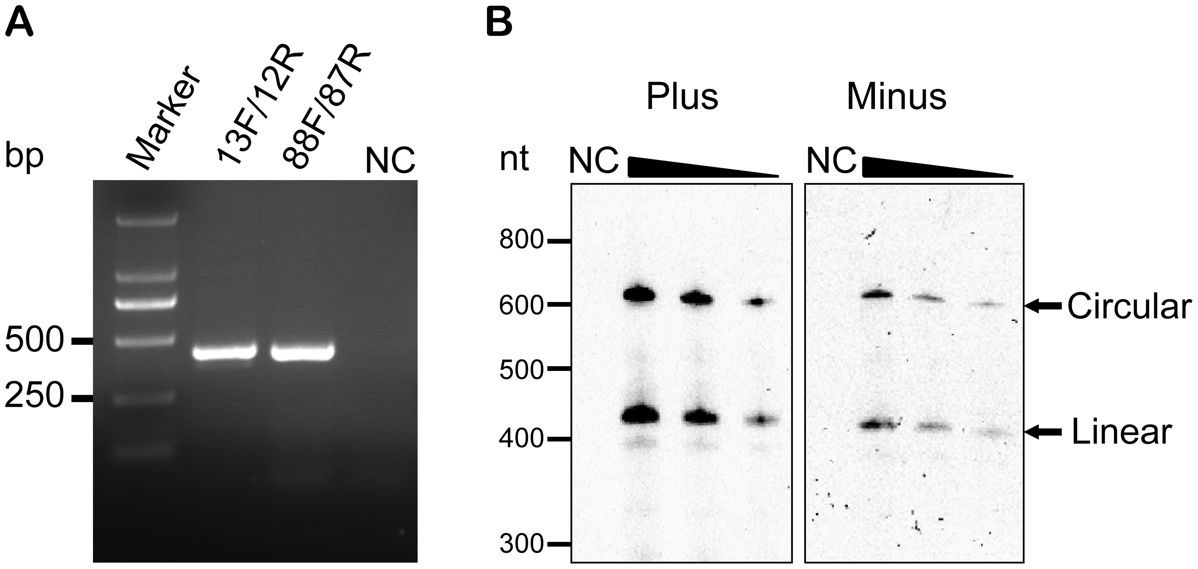 Verification of the circularity of AHVd-like RNA by RT-PCR and northern-blot hybridization.