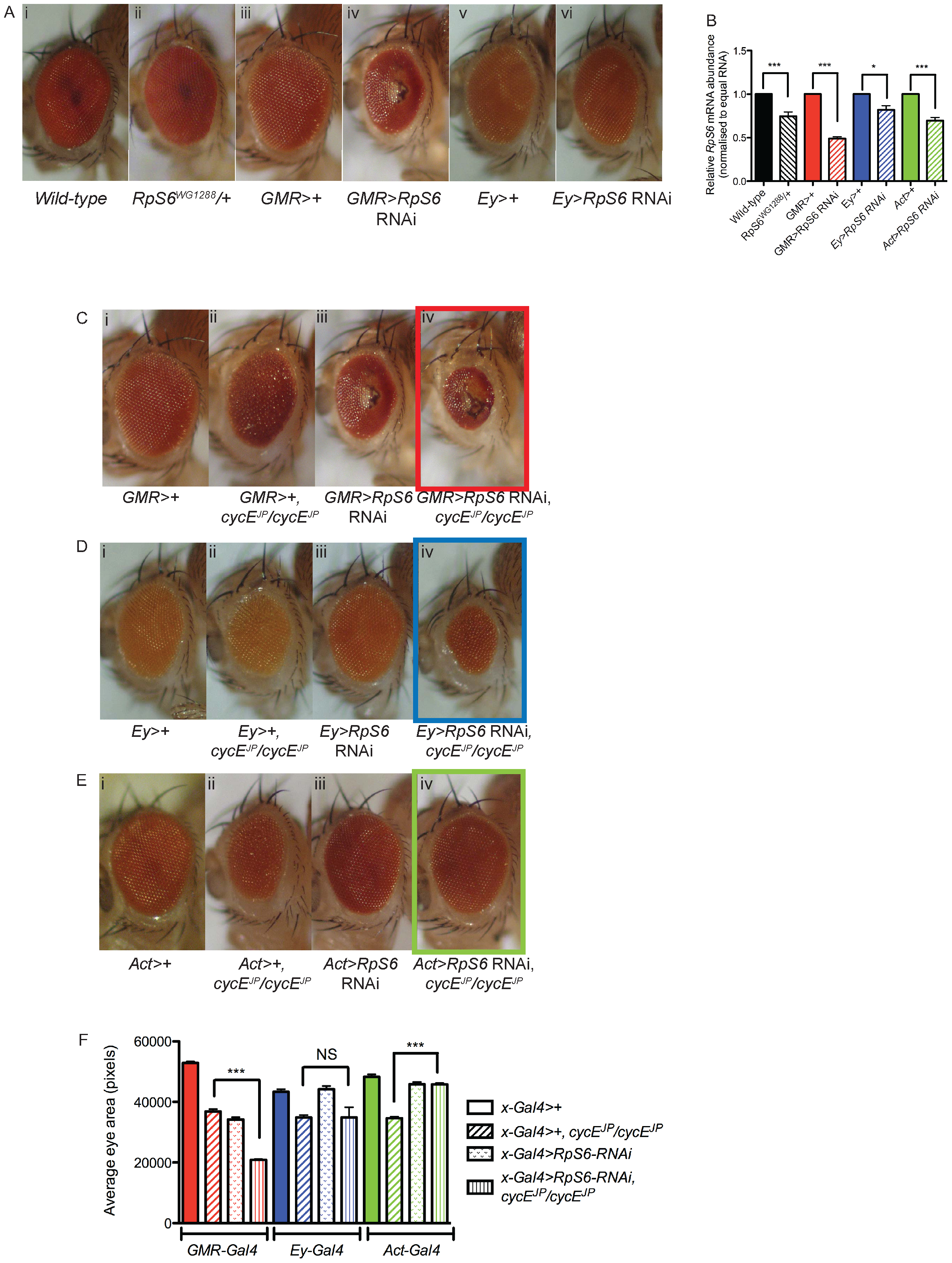 Reducing <i>RpS6</i> by RNAi in the whole fly, but not specifically in the eye, suppresses <i>cycE<sup>JP</sup></i>.