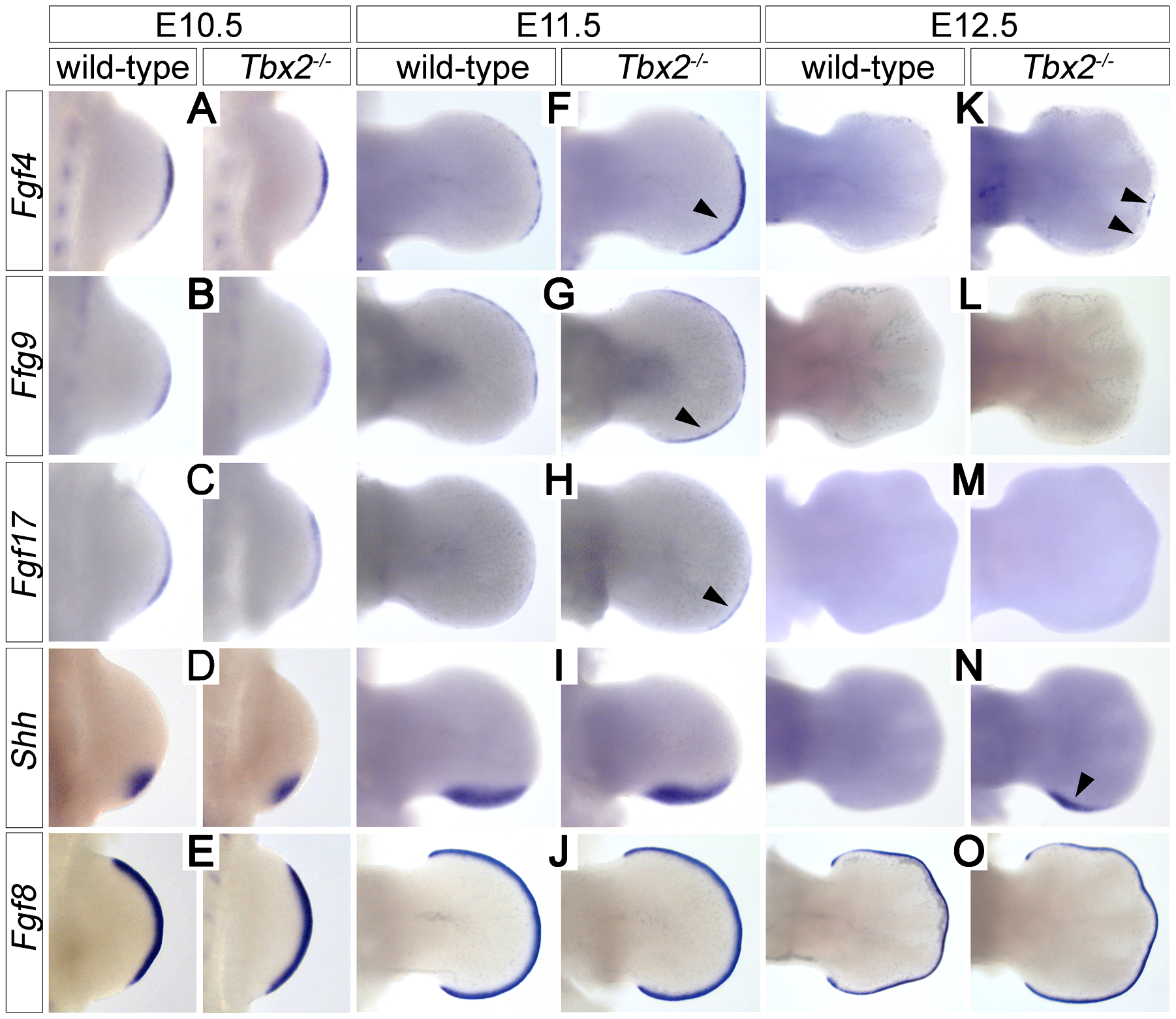 Prolonged posterior e-m signaling in <i>Tbx2</i>-deficient hindlimbs.