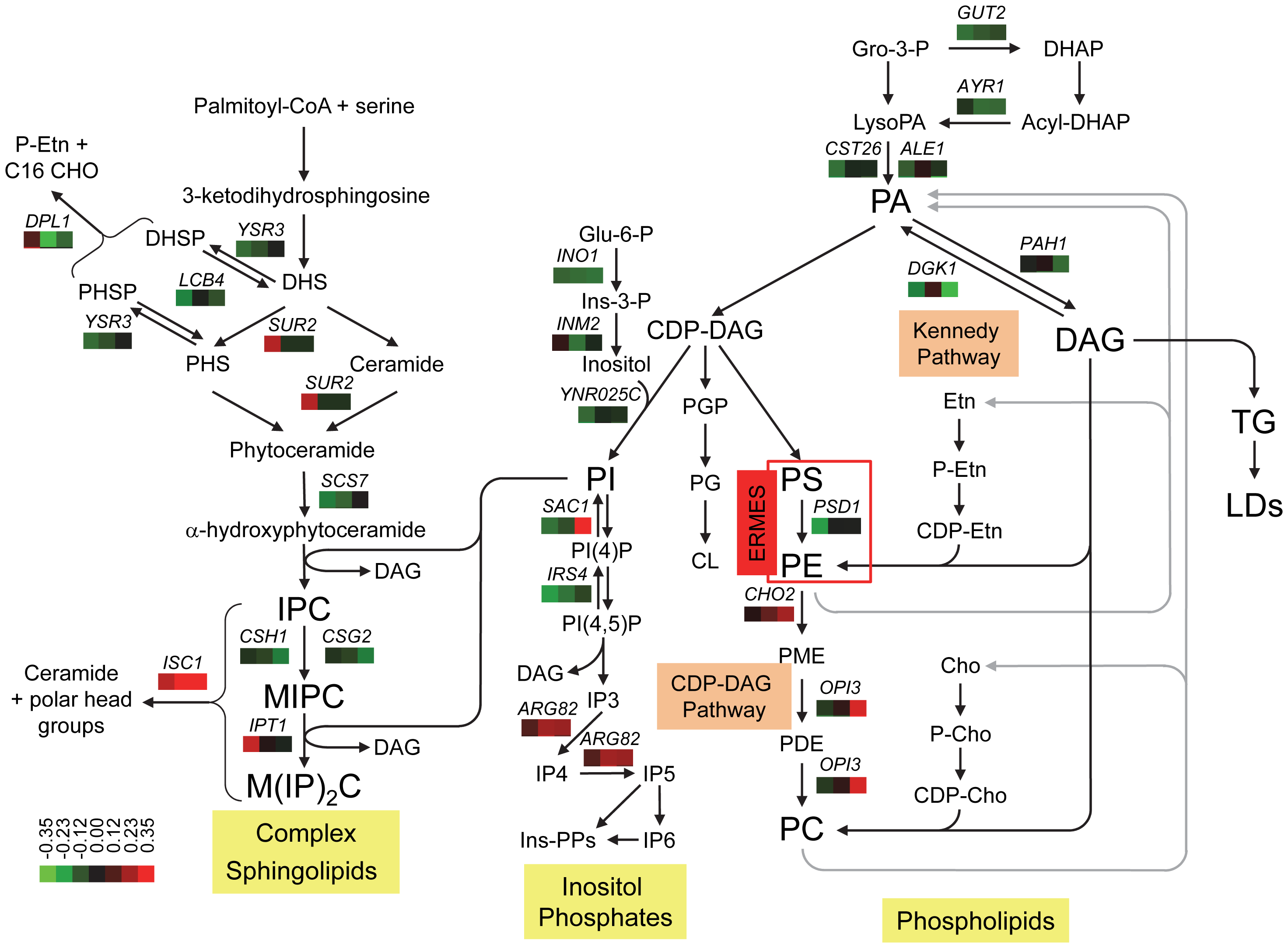 Genetic interactions of <i>SCS3</i> and <i>YFT2</i> map to sphingolipid, phospholipid, and inositol phosphate synthesis pathways.