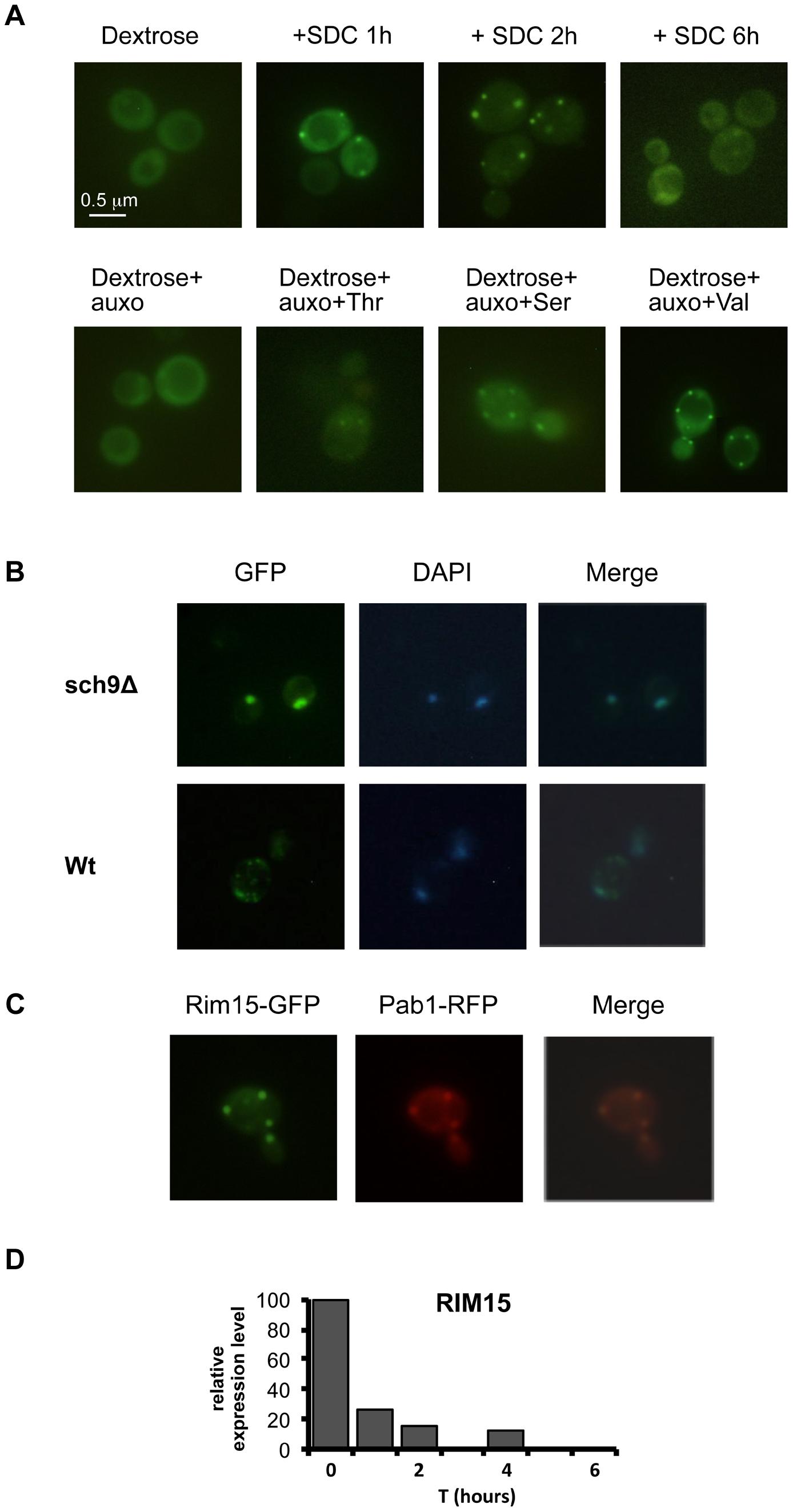 Amino acids affect Rim15 activity.
