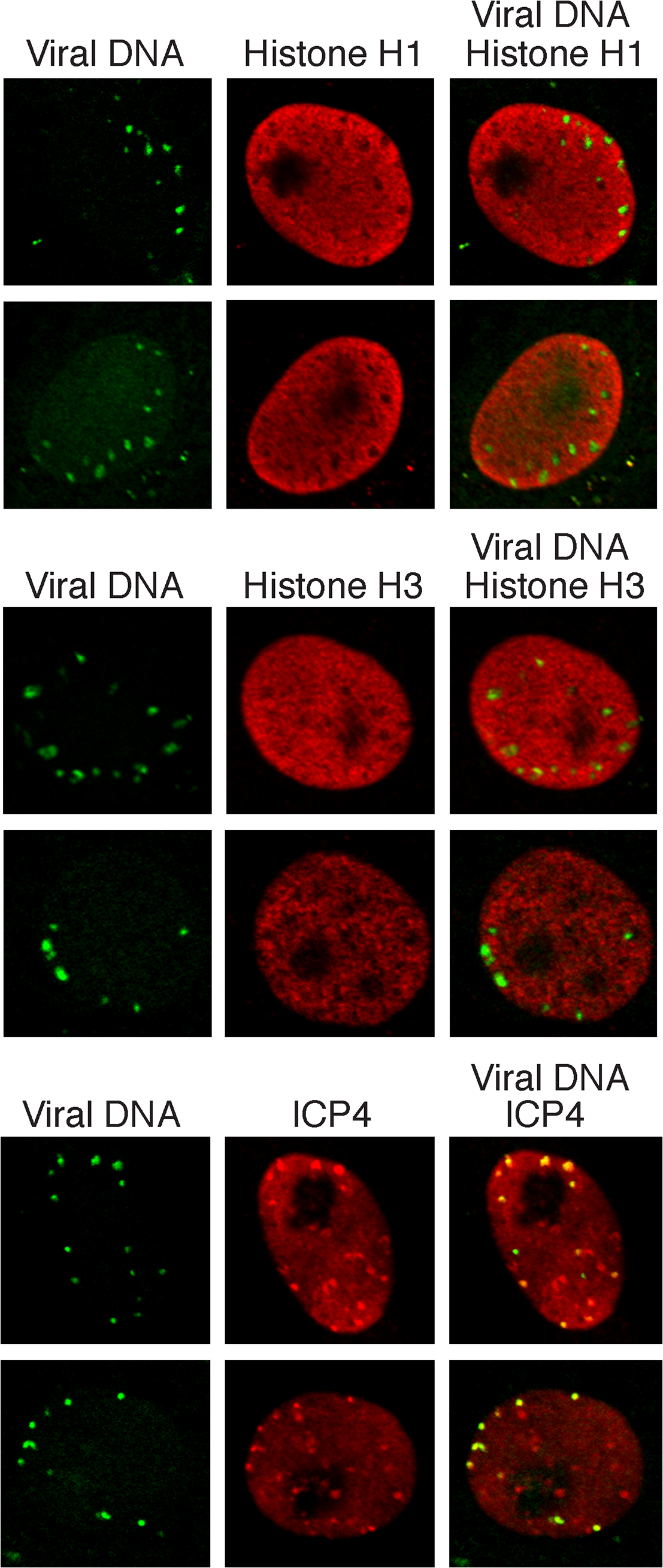 Histones H1 and H3 do not colocalize with incoming HSV genomes.