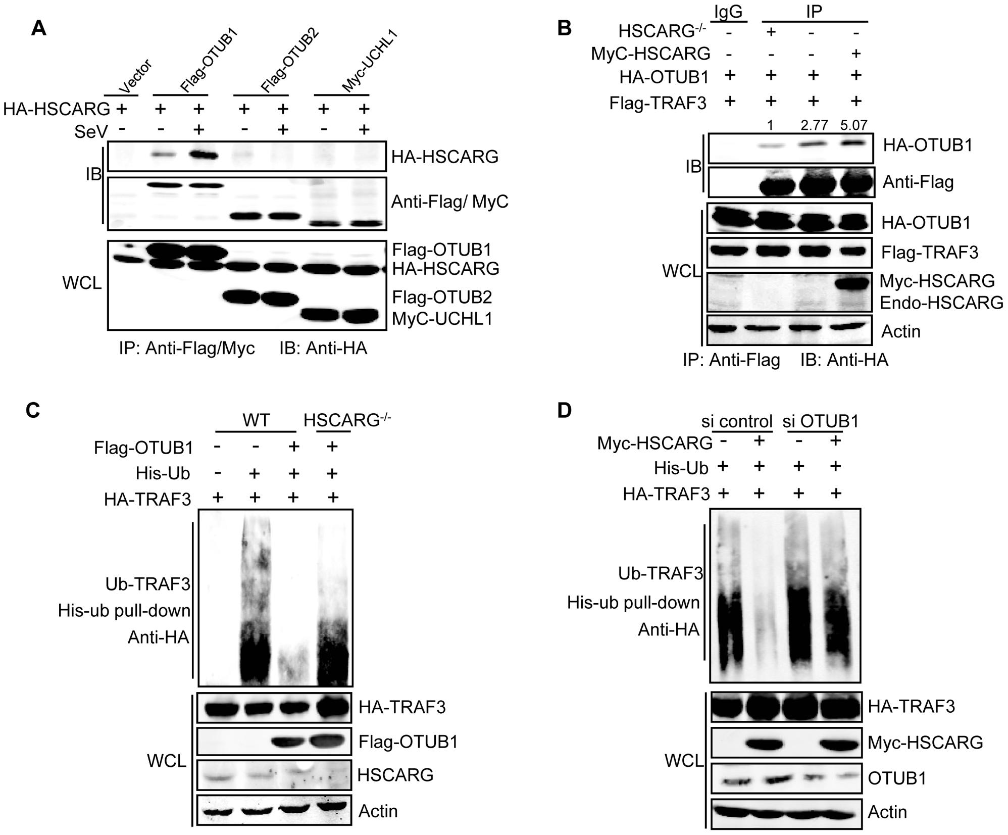 HSCARG and OTUB1 cooperatively inhibit TRAF3 ubiquitination.