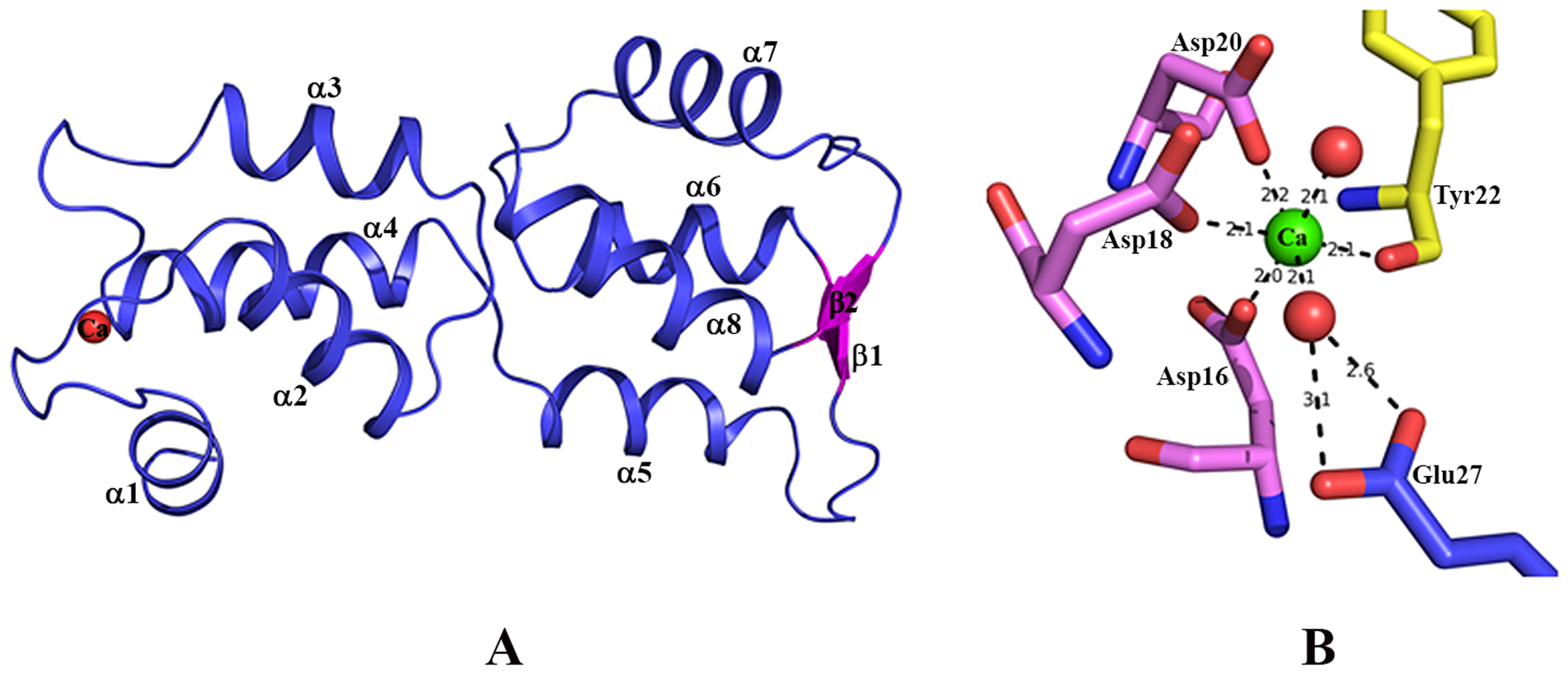 Structure of EhCaBP5.