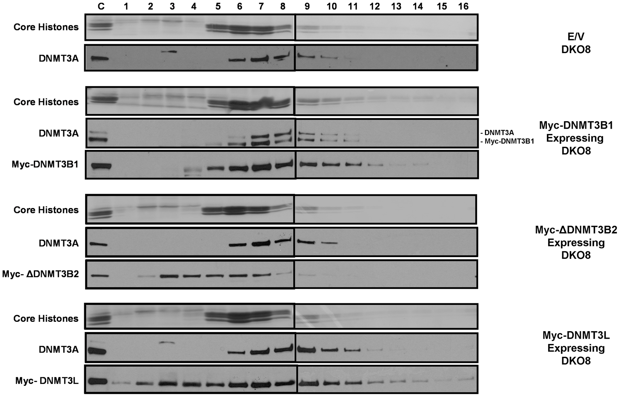 The increased level of DNMT3A protein in infected DKO cells, which have increased levels of DNA methylation, remains tightly bound to nucleosomes.
