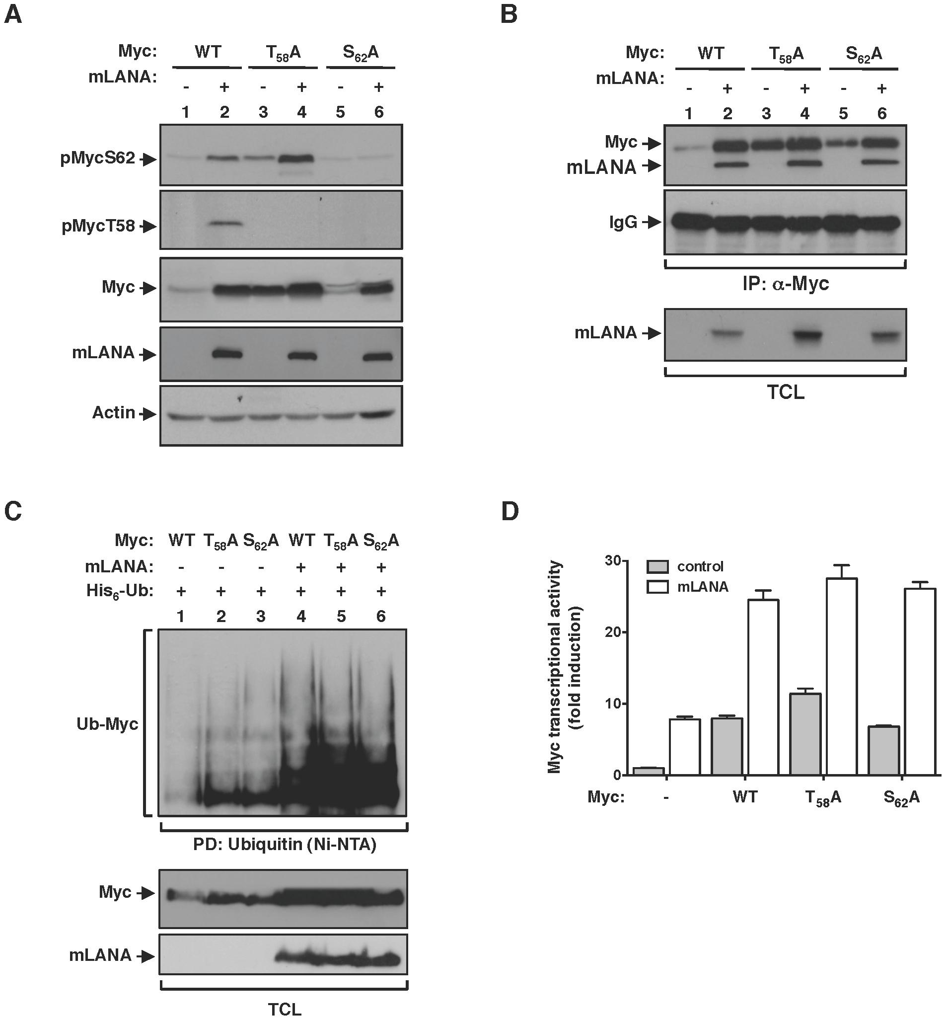 mLANA modulatory activity towards Myc is independent of Myc phosphorylation status.