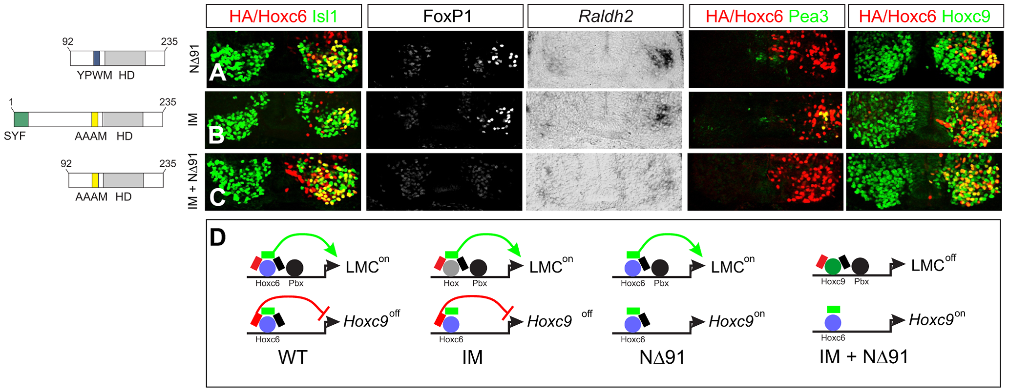 Pbx-dependent and -independent strategies for generating LMC neurons.