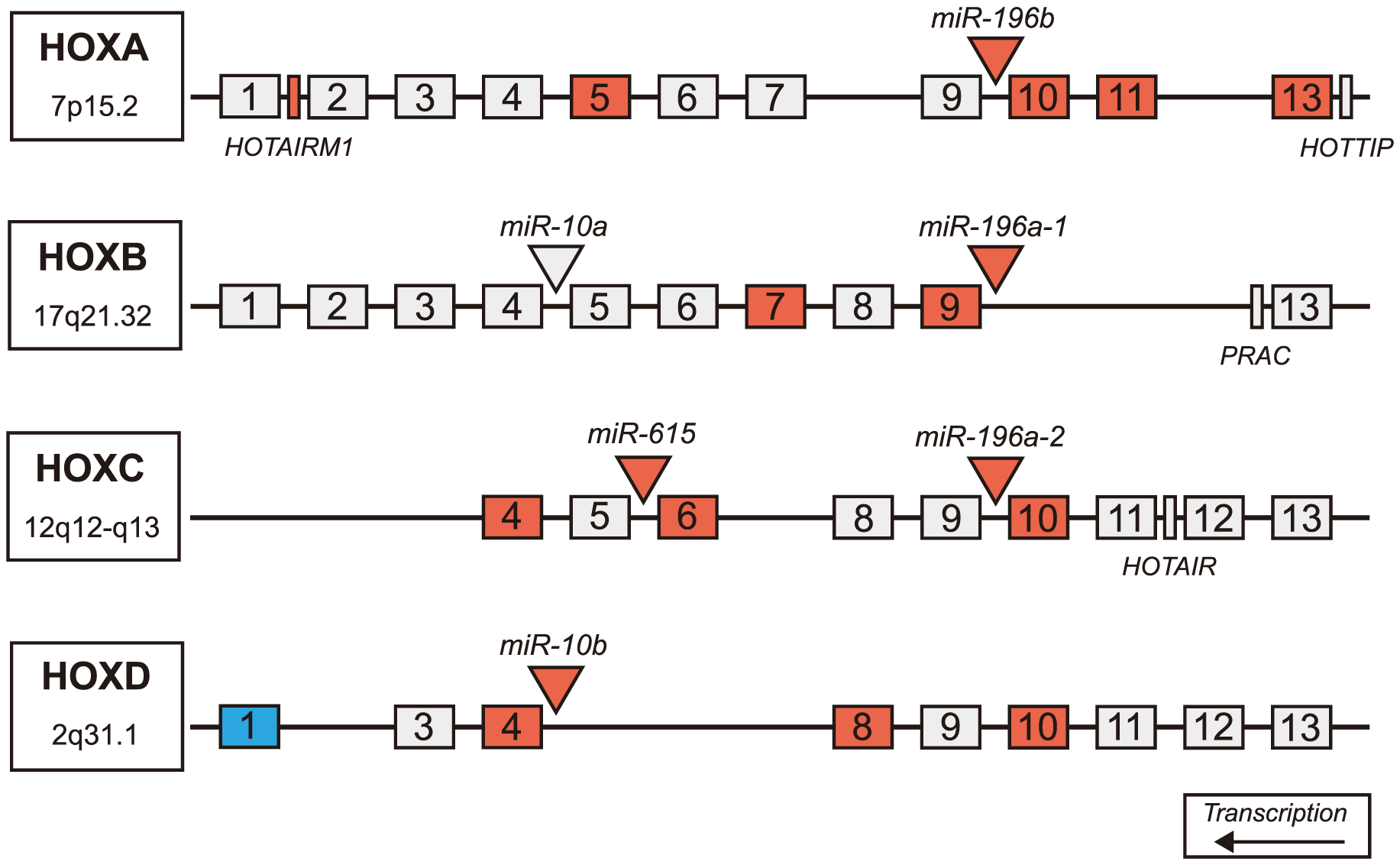 Differentially expressed miRNAs in HD are located in Hox genes clusters.