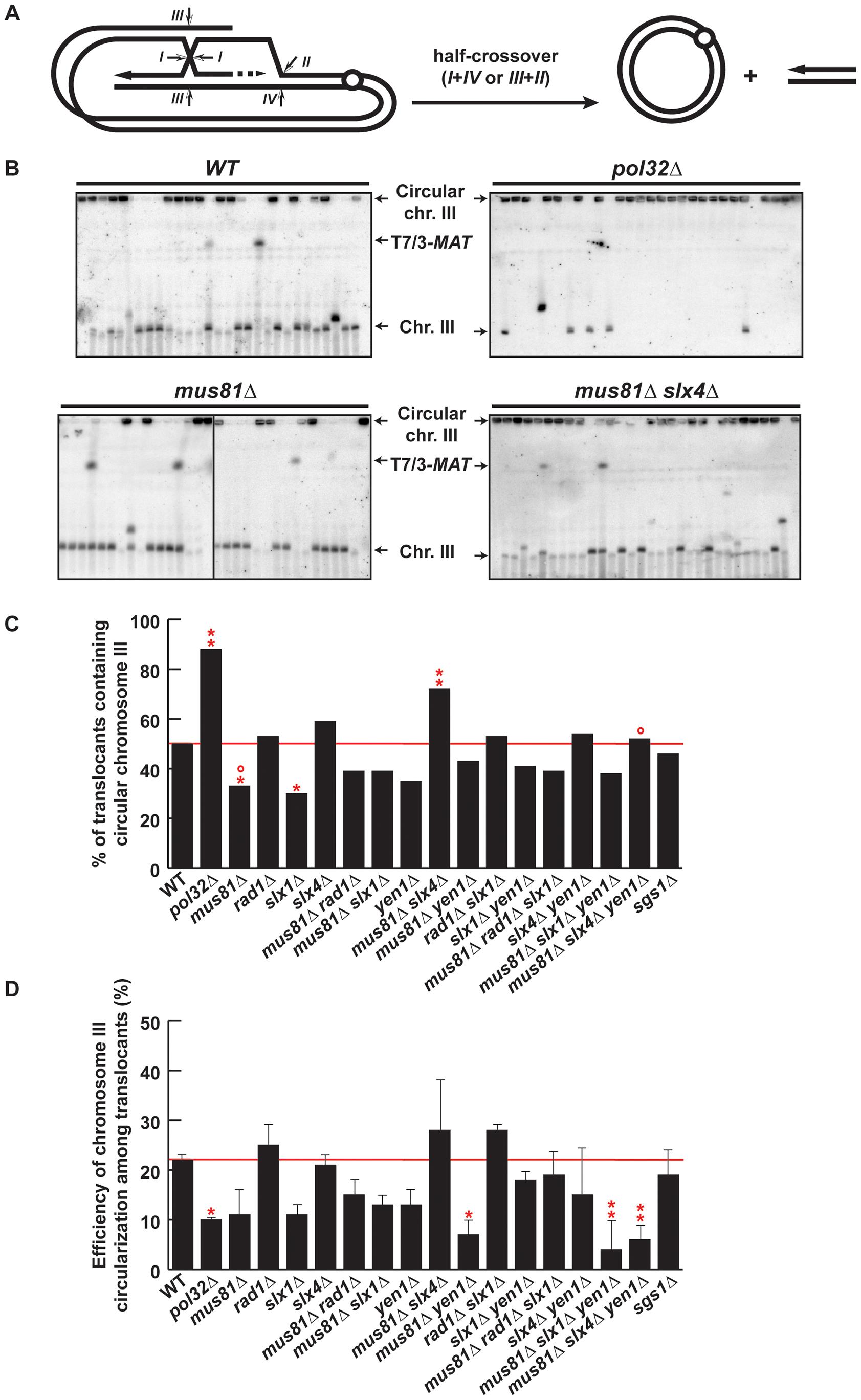 PFGE analysis of chromosome III circularization in SSE mutants.