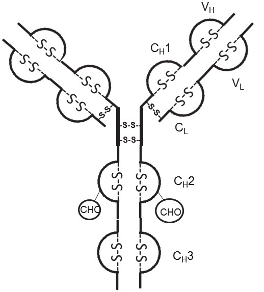 Fig. 1. Disulfide bonds and hinge