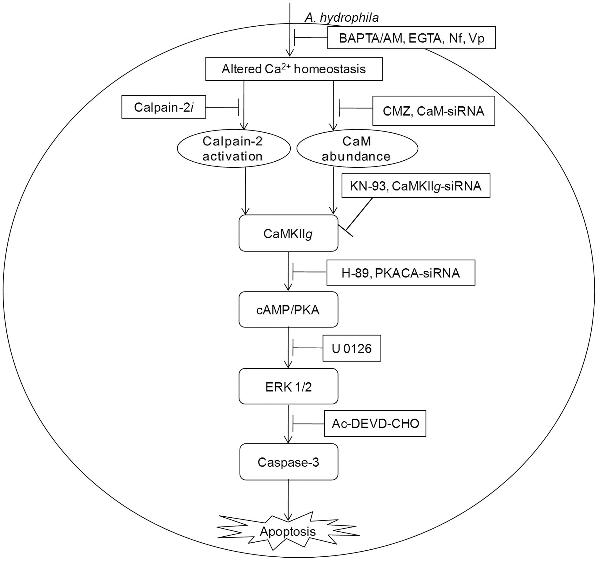 CaM-CaMKII-cAMP/PKA-ERK 1/2 axis leads to caspase-3 mediated apoptosis of <i>A. hydrophila</i>-infected HKM.