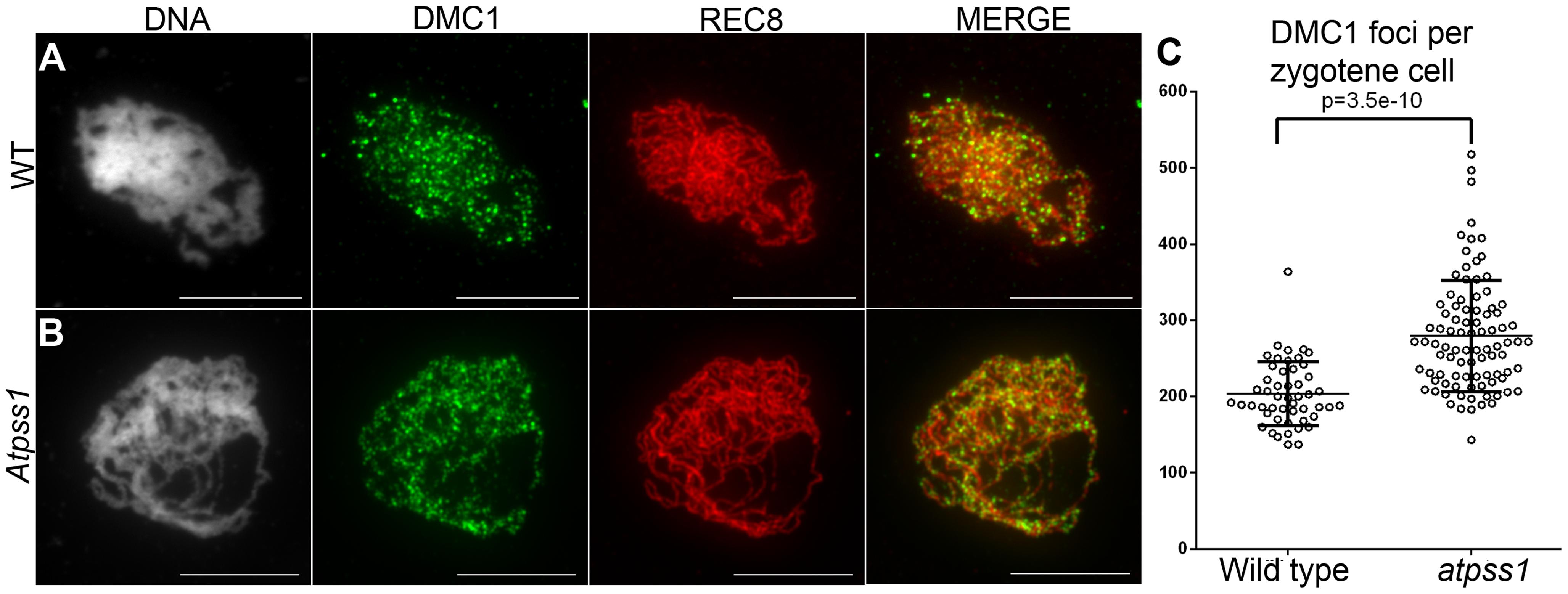 DMC1 immunolocalization.