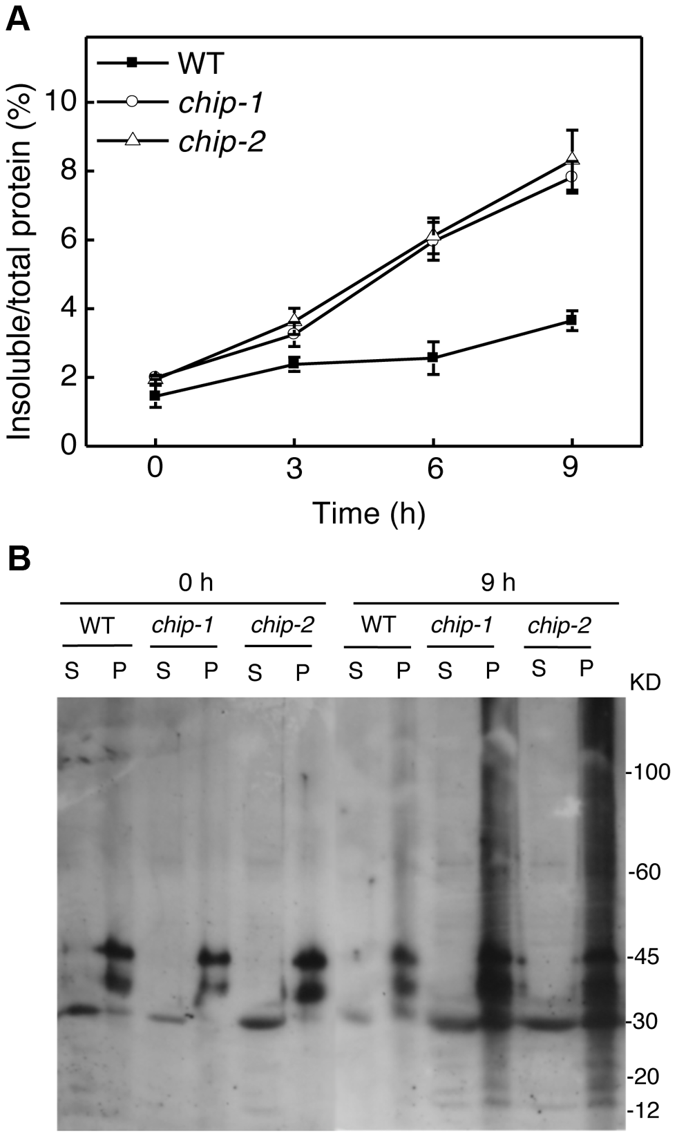 Increased accumulation of insoluble ubiquitinated proteins in the <i>chip</i> mutants under heat stress.