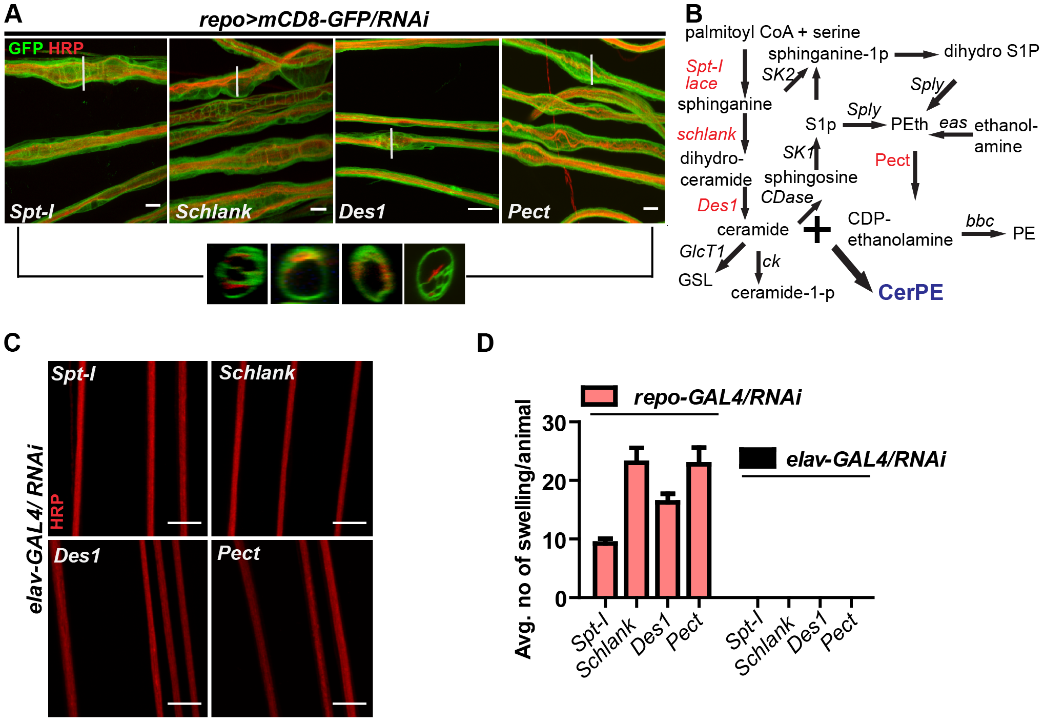 Glia require CerPE for axonal ensheathment.