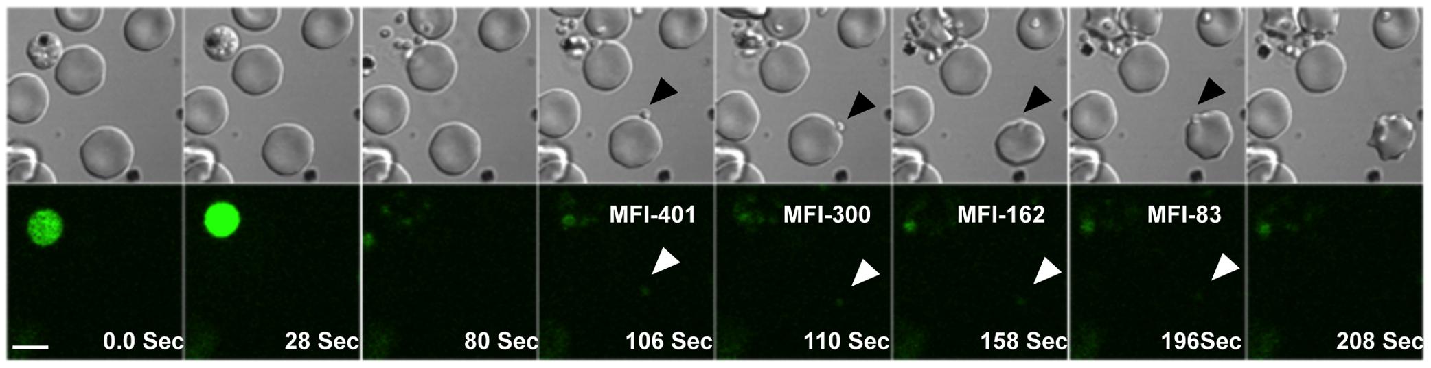 Cytosolic calcium levels in <i>P. falciparum</i> merozoites during erythrocyte invasion.