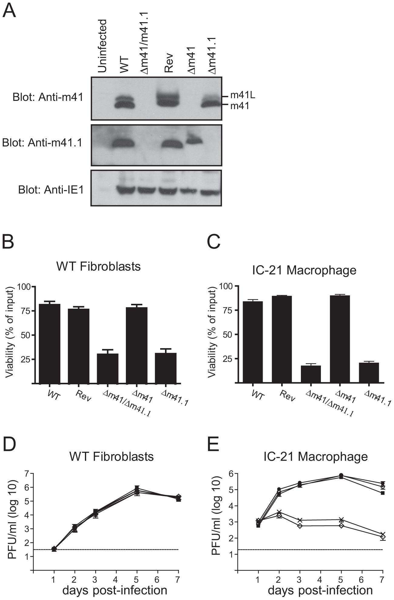 <i>In vitro</i> analysis of m41 mutant viruses.