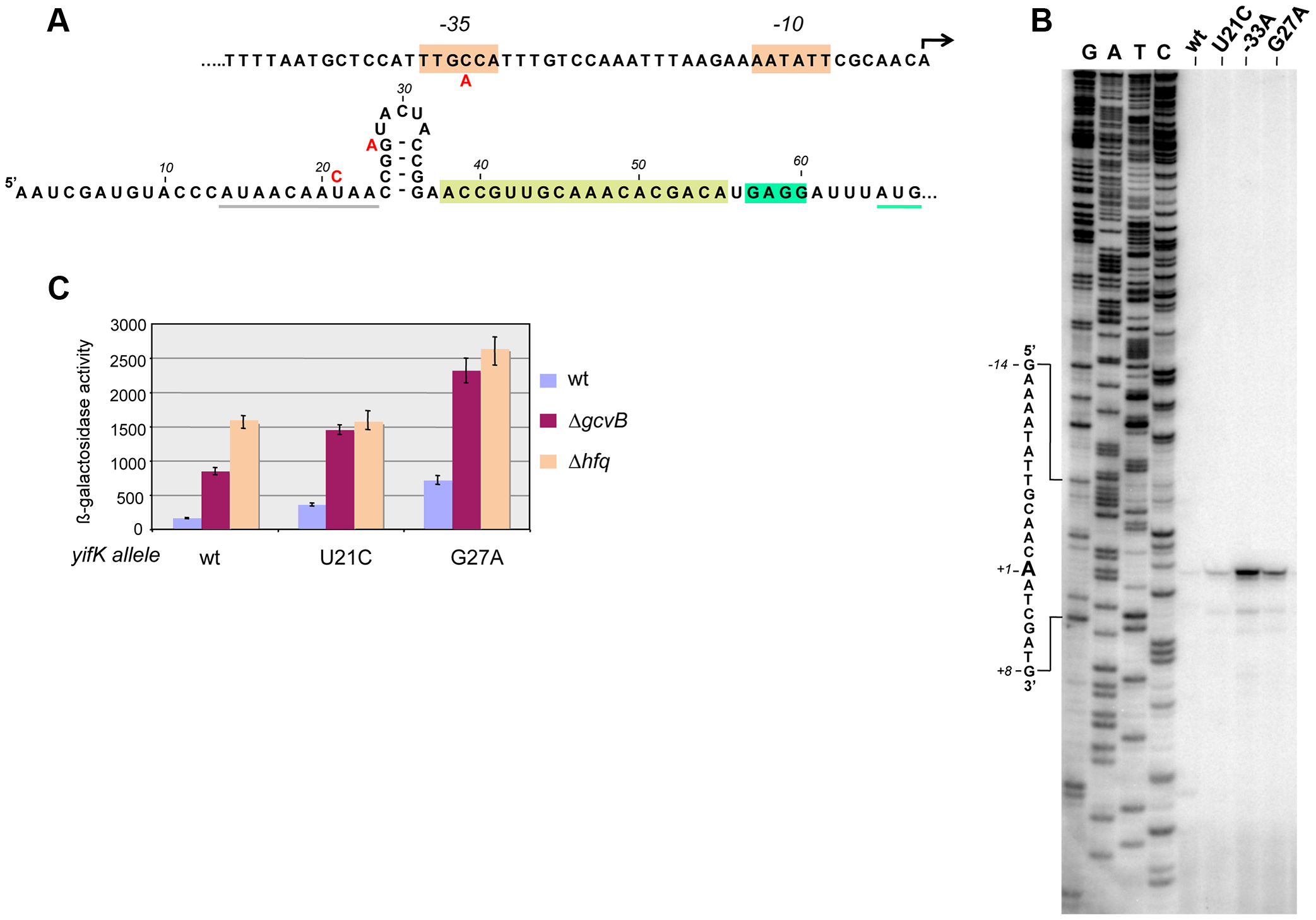 Characterization and mutational analysis of the leader region of the <i>yifK</i> gene.