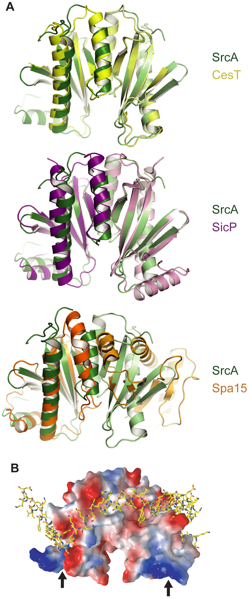 Structural comparison of SrcA, CesT and SicP.