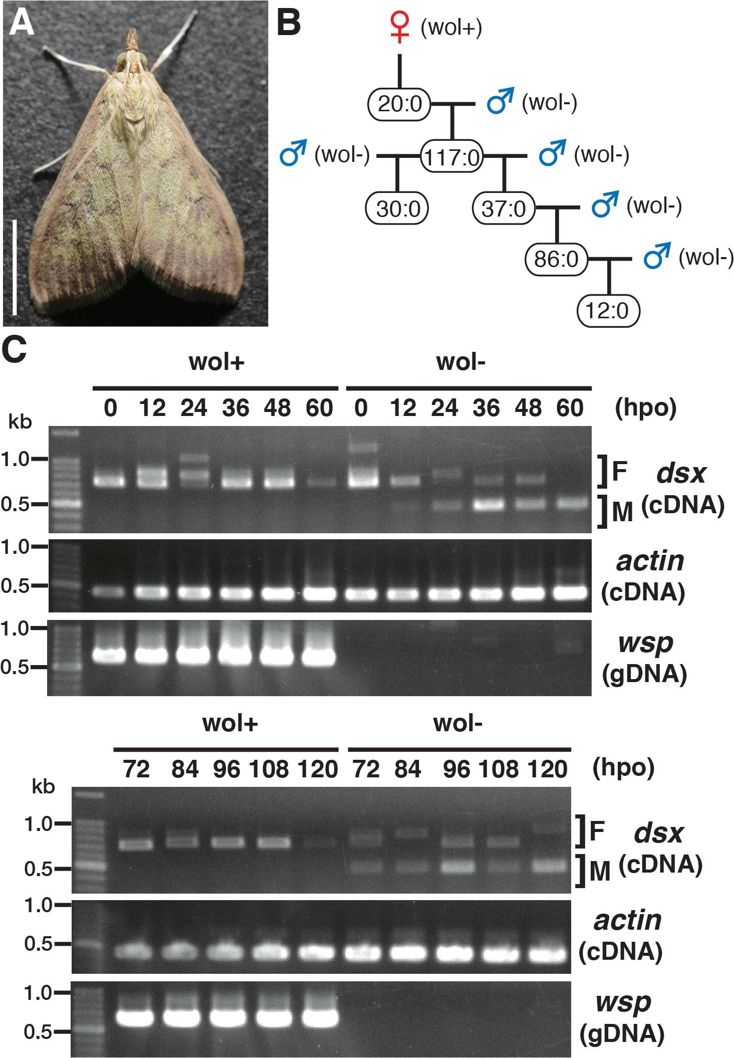 Characterization of a male-killing <i>Wolbachia</i> found in adult <i>Ostrinia</i>.
