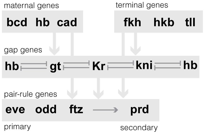 Schematic of the regulatory relationships between 13 AP patterning network genes.