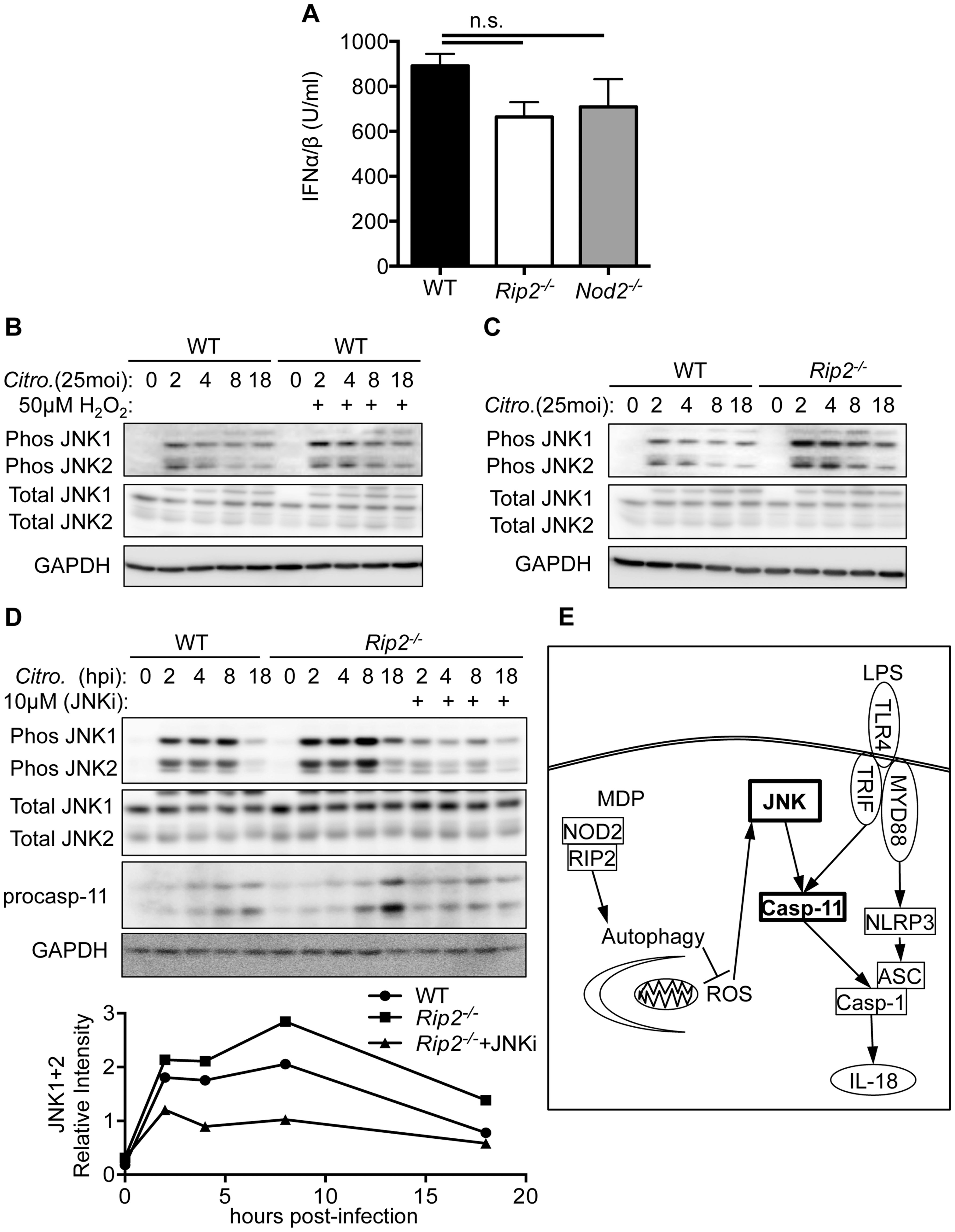RIP2 regulates caspases-11 expression through a ROS-JNK pathway.