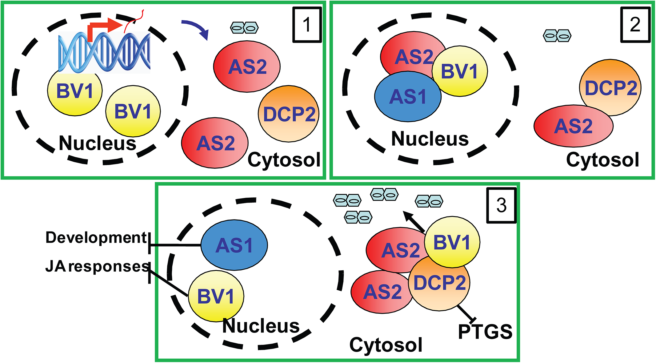 Proposed mechanism of BV1 and AS2.
